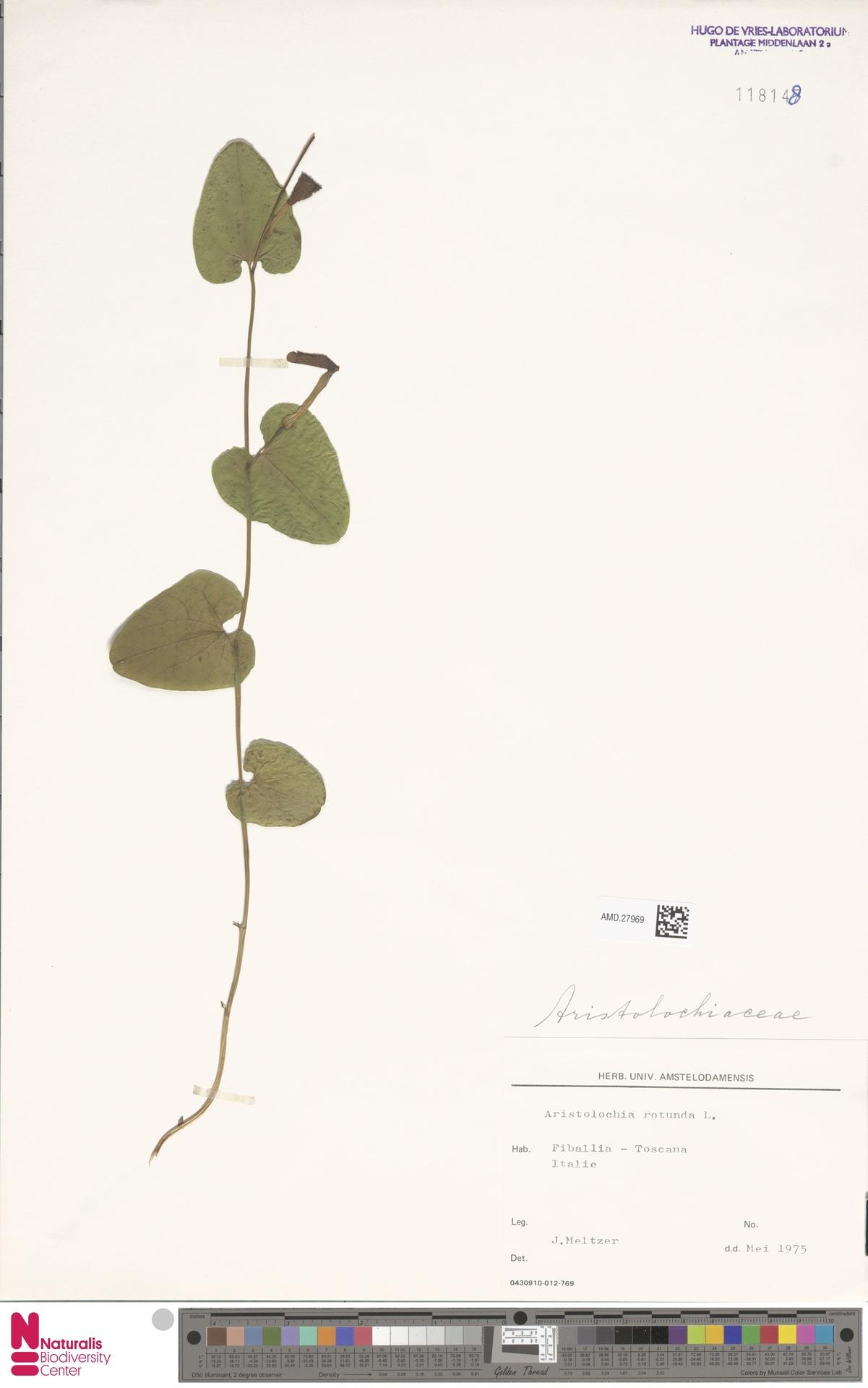 AMD.27969 | Aristolochia rotunda L.