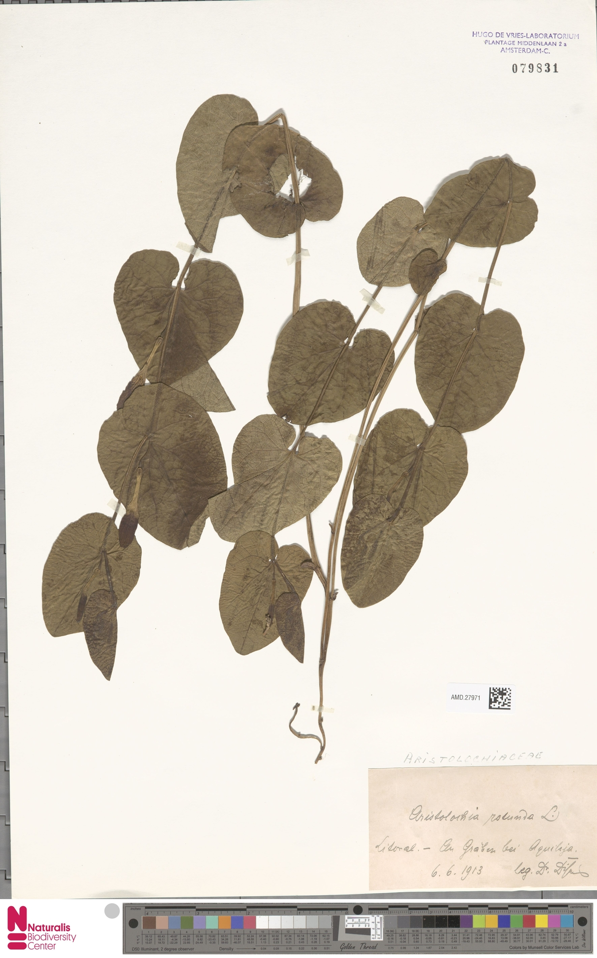 AMD.27971 | Aristolochia rotunda L.