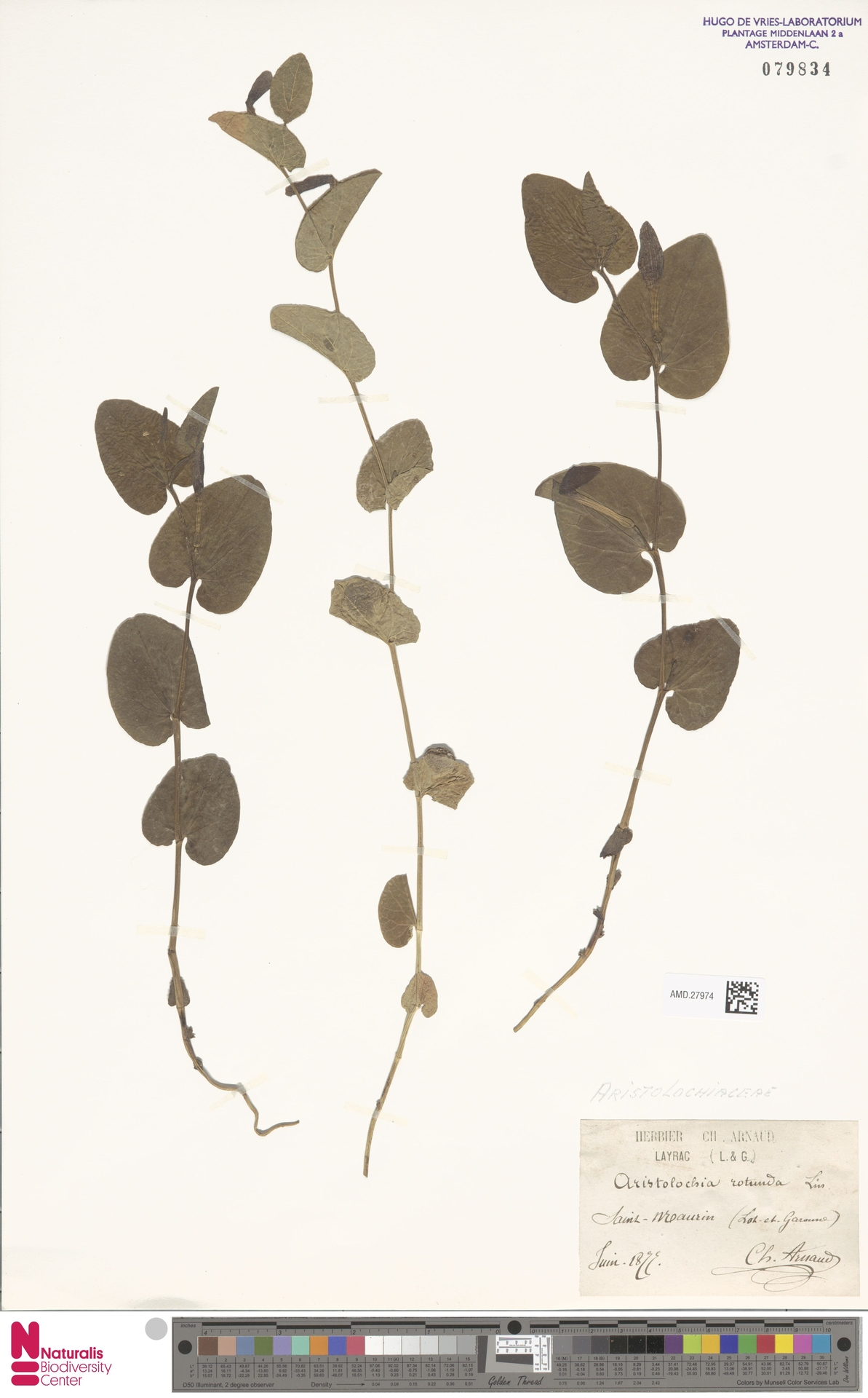 AMD.27974 | Aristolochia rotunda L.