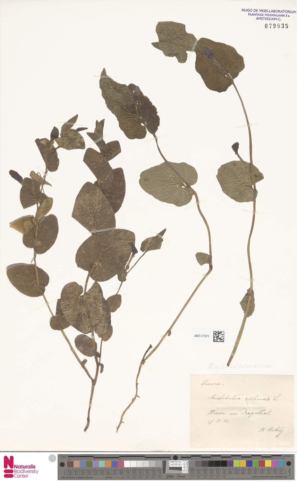 AMD.27975 | Aristolochia rotunda L.