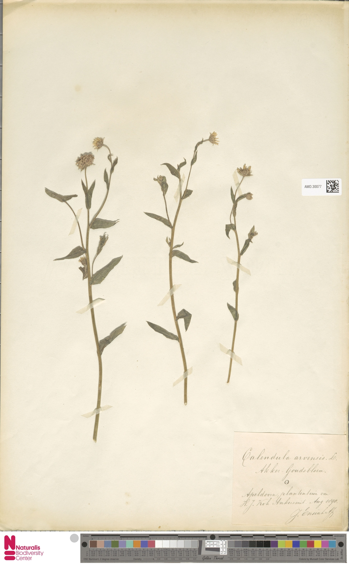 AMD.30077 | Calendula arvensis (Vaill.) L.