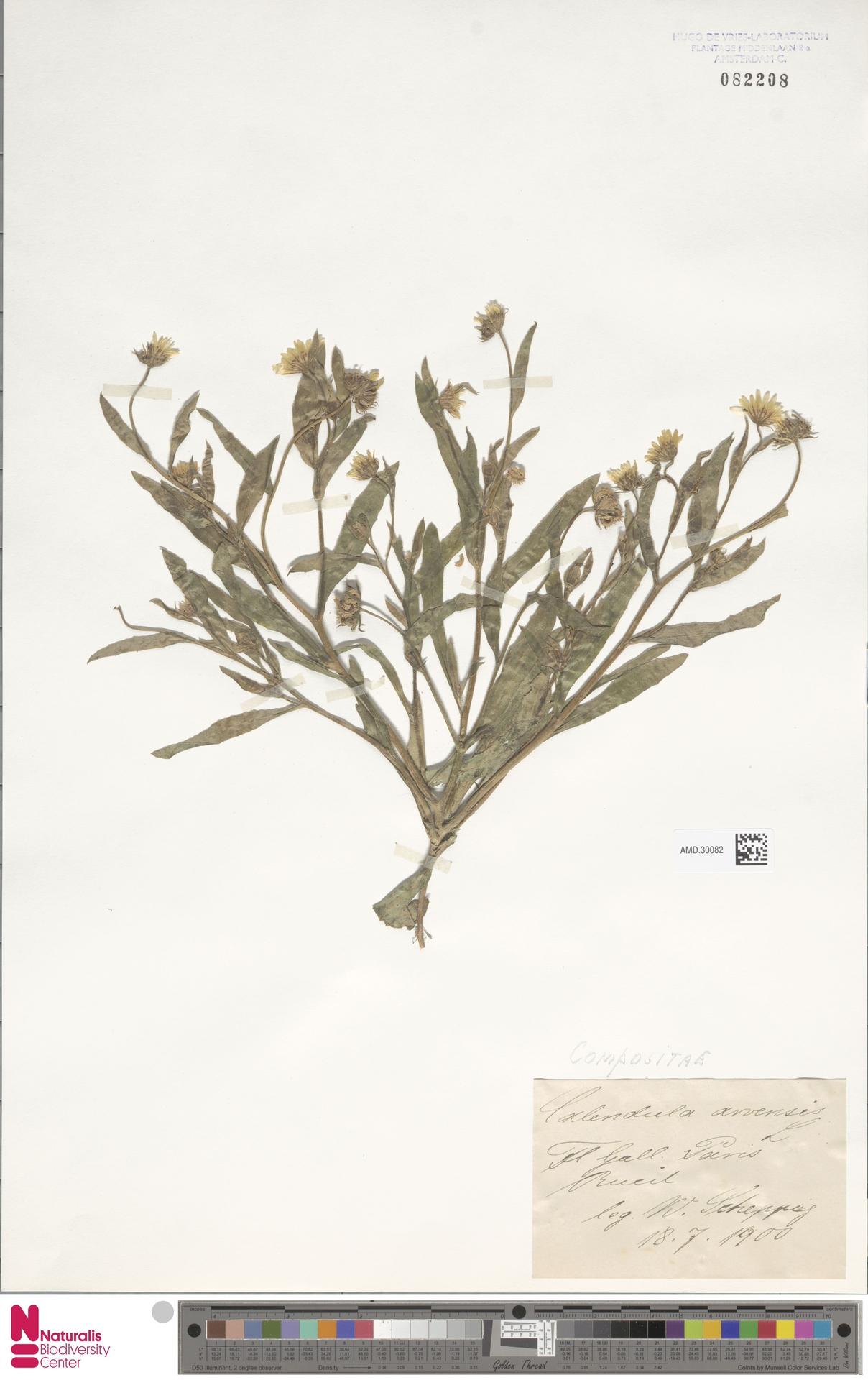 AMD.30082 | Calendula arvensis (Vaill.) L.