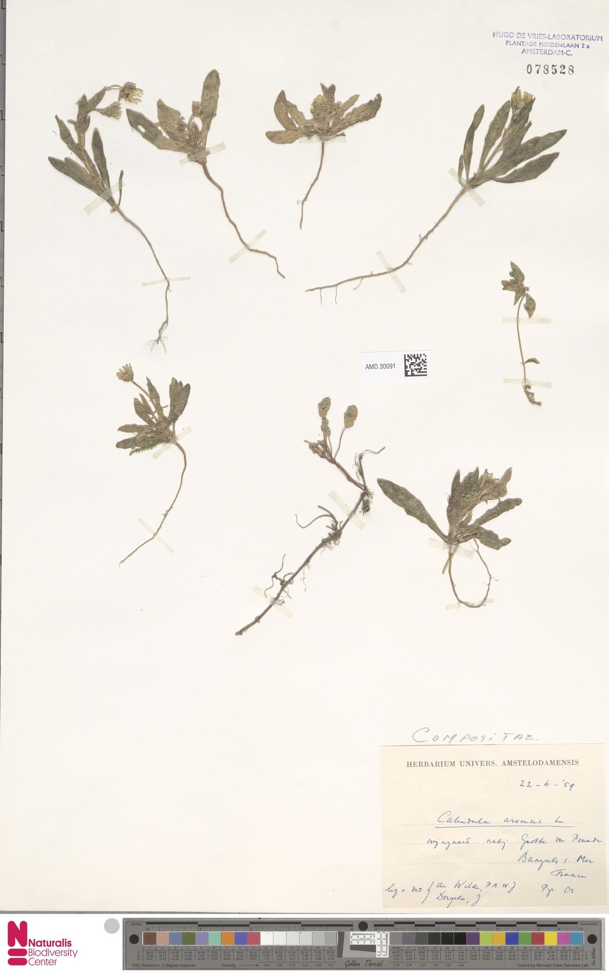 AMD.30091 | Calendula arvensis (Vaill.) L.