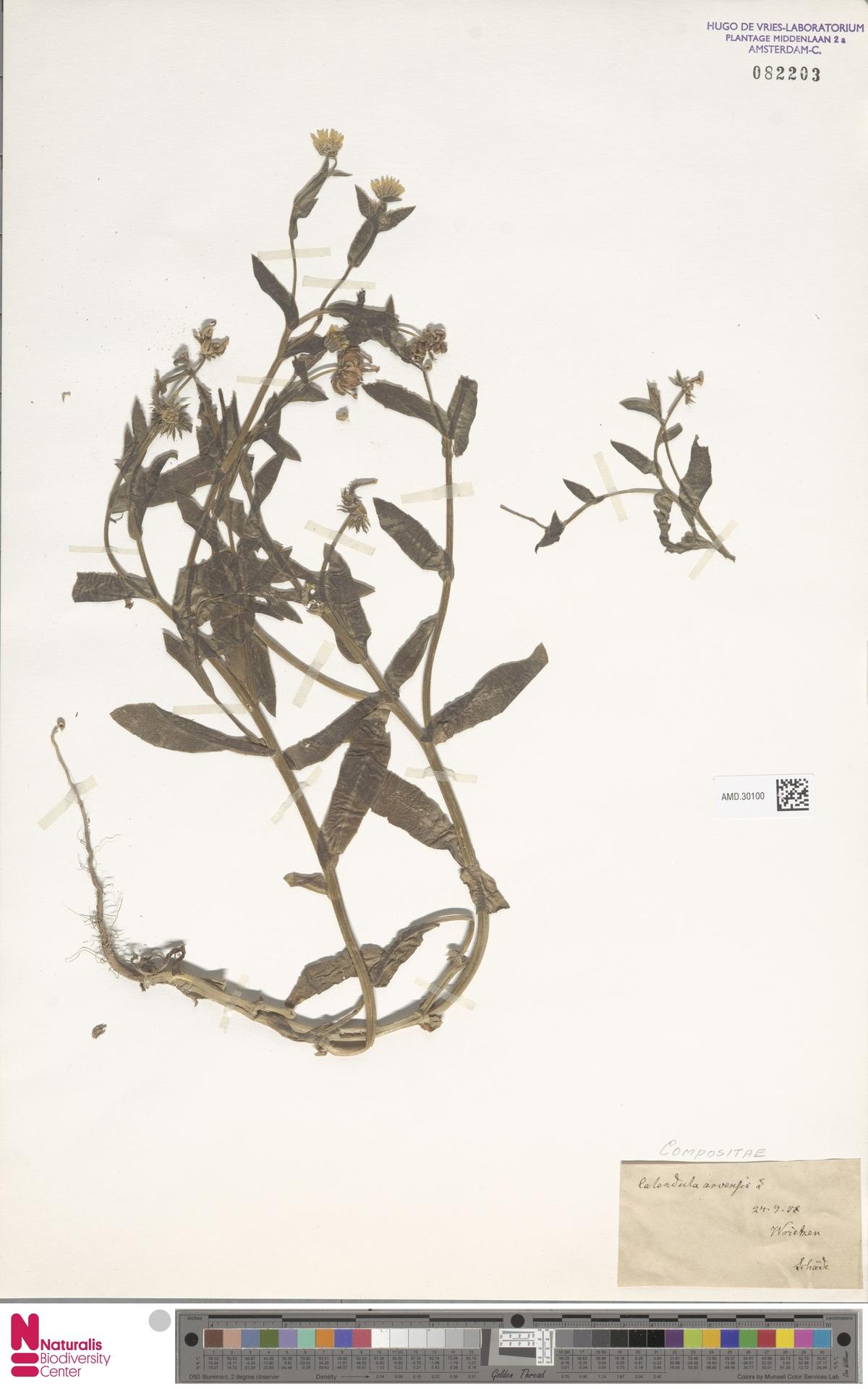 AMD.30100 | Calendula arvensis (Vaill.) L.
