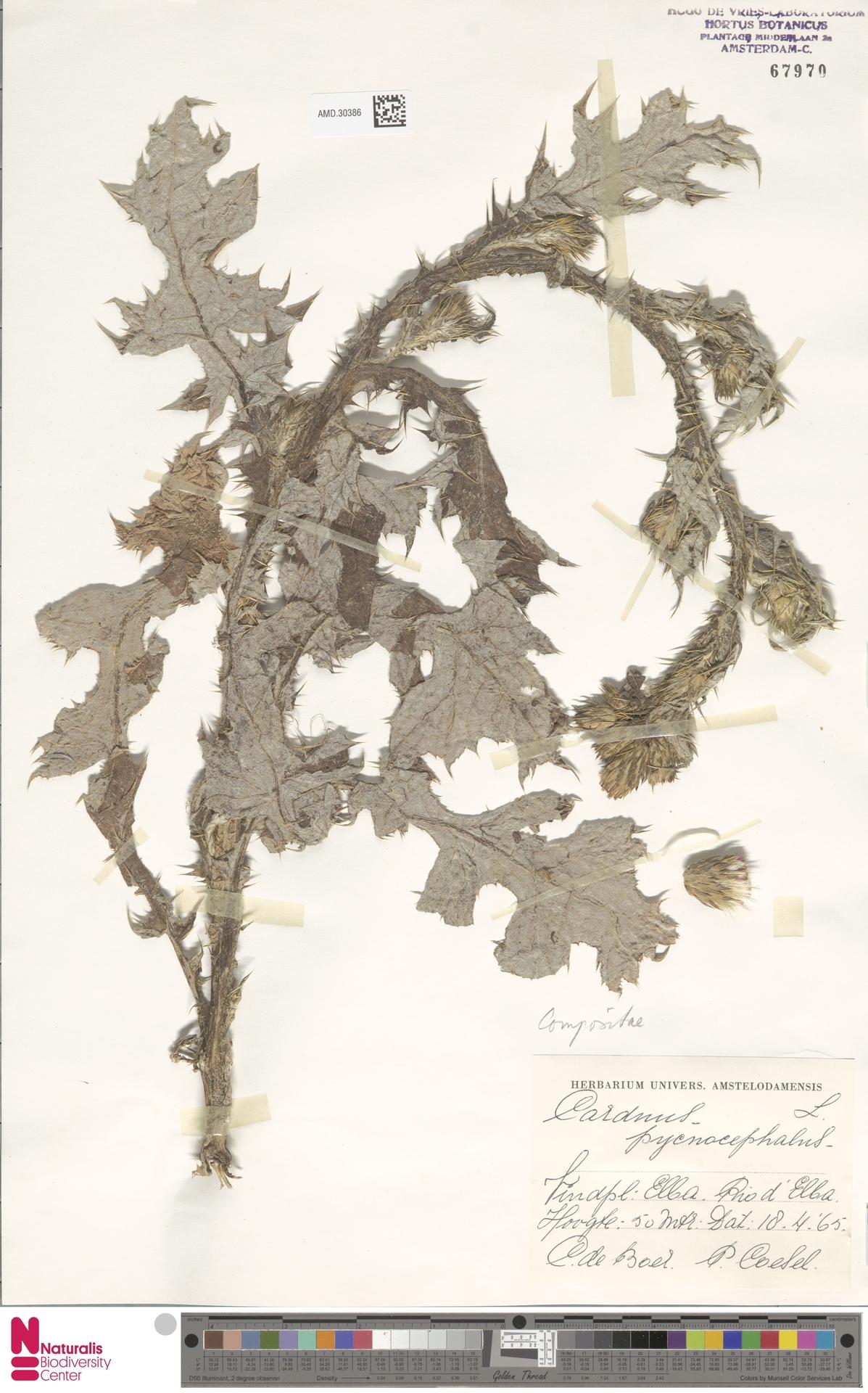 AMD.30386 | Carduus pycnocephalus L.