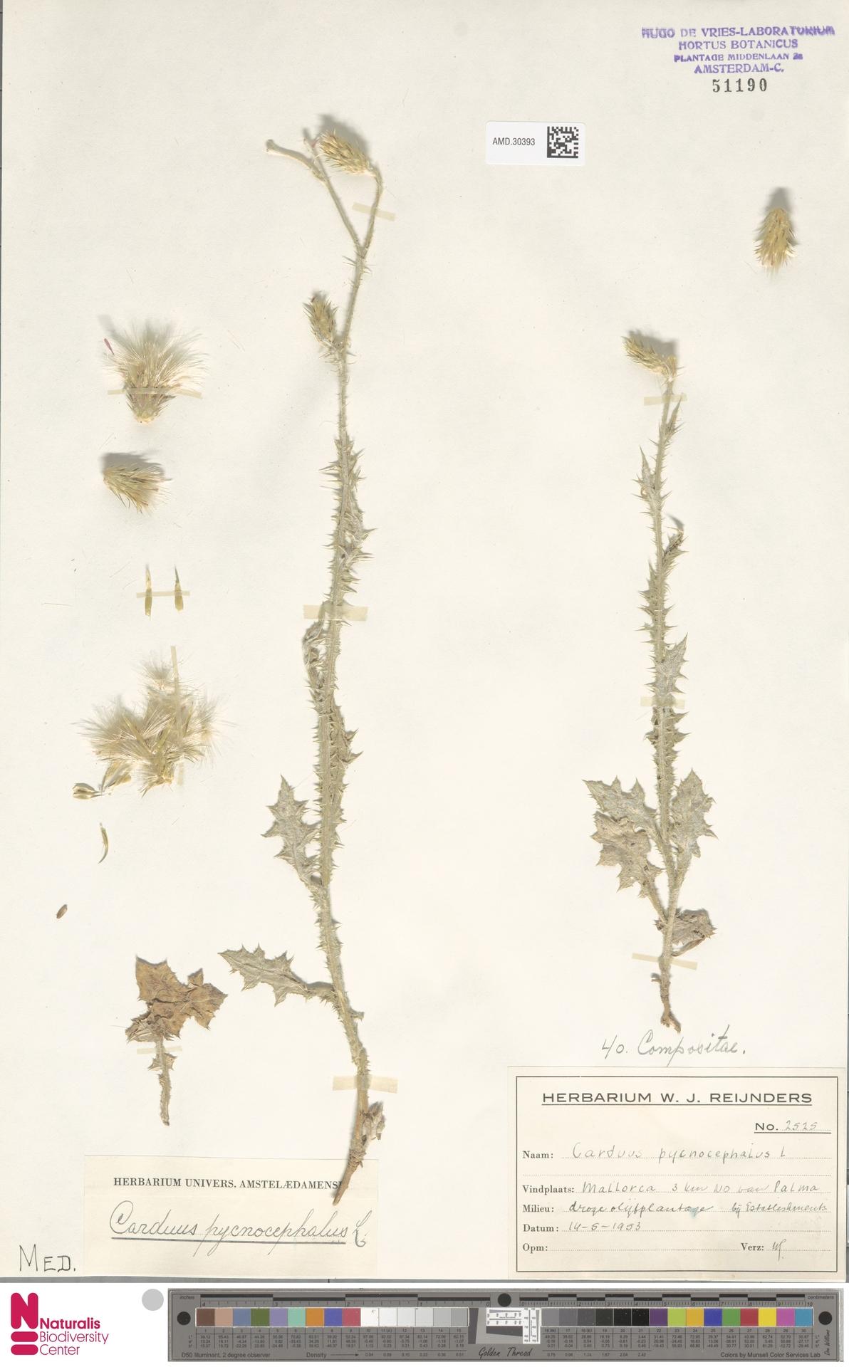 AMD.30393 | Carduus pycnocephalus L.