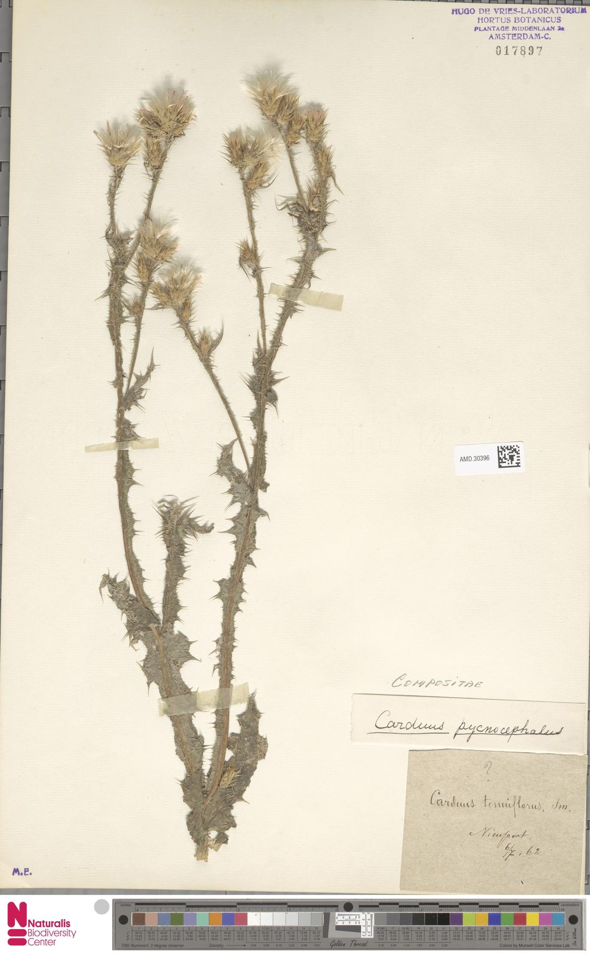 AMD.30396 | Carduus pycnocephalus L.