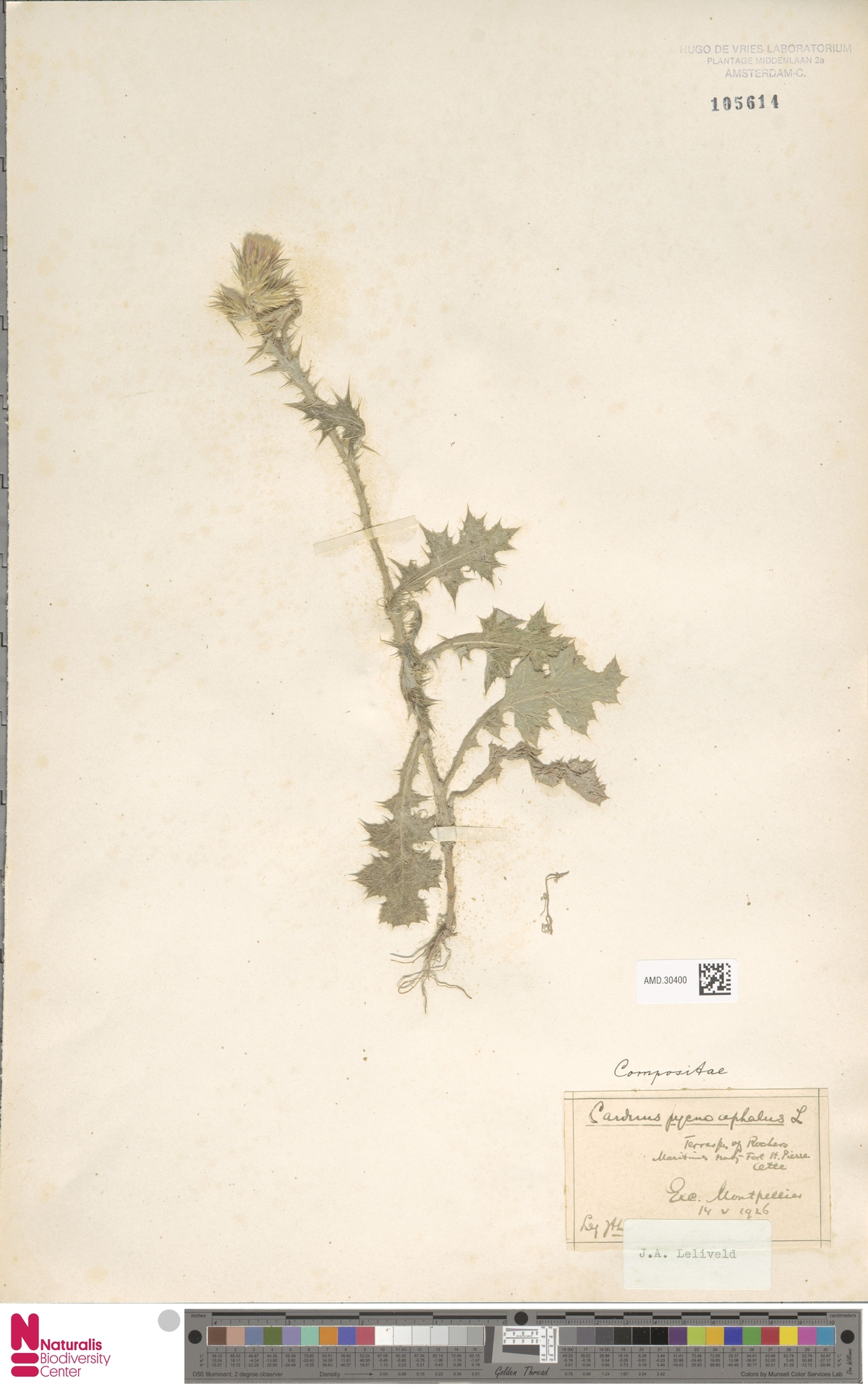 AMD.30400 | Carduus pycnocephalus L.