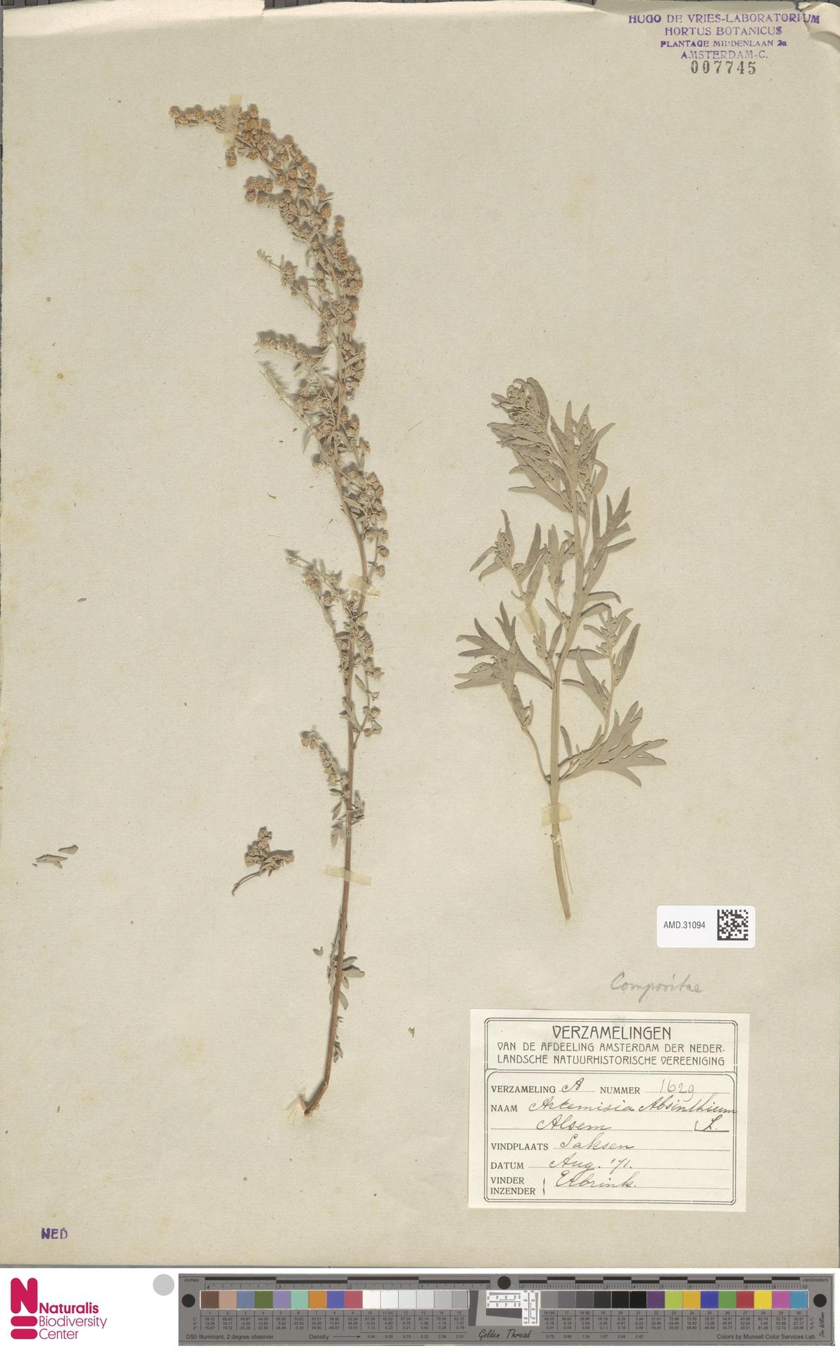AMD.31094   Artemisia absinthium L.