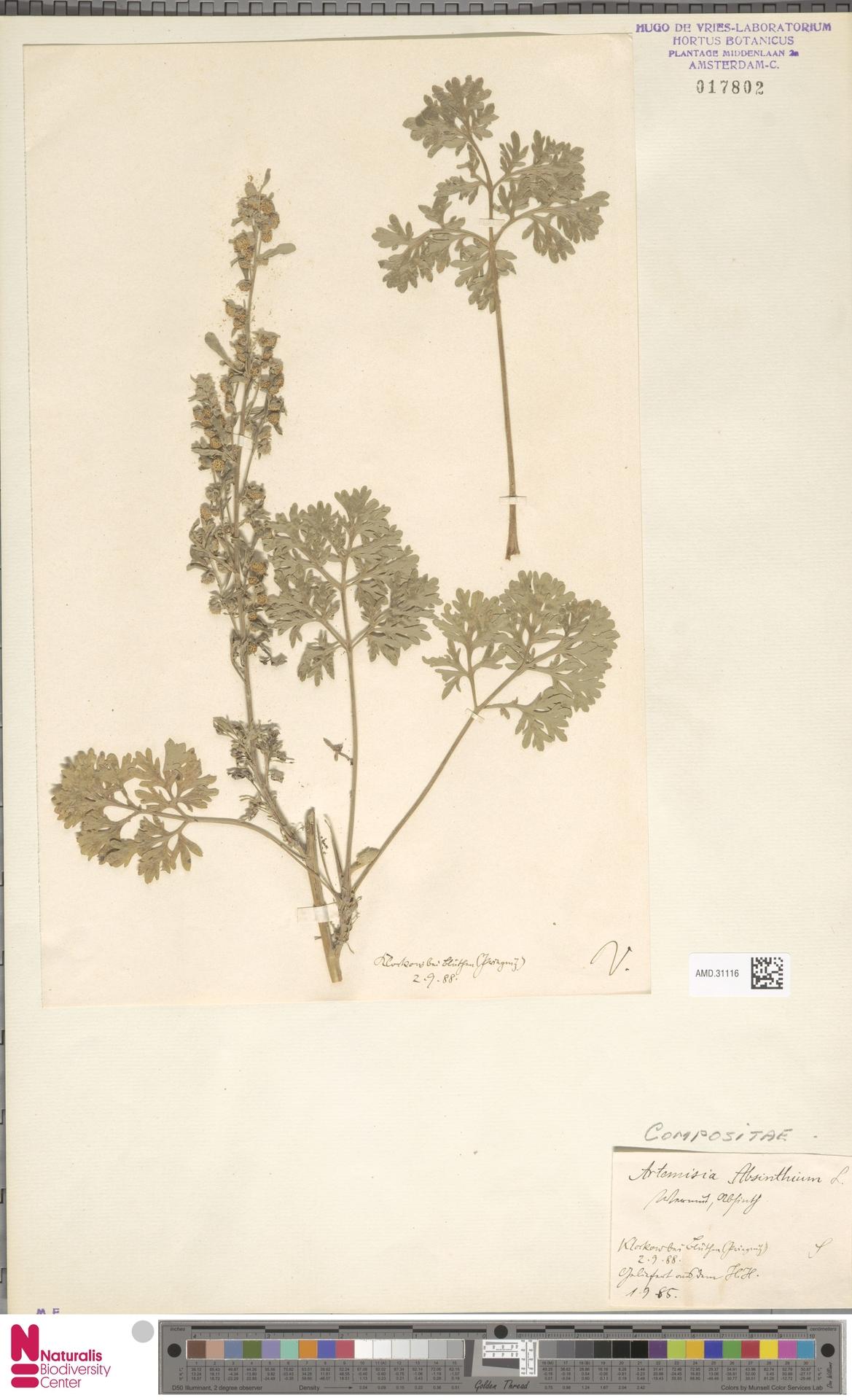 AMD.31116 | Artemisia absinthium L.