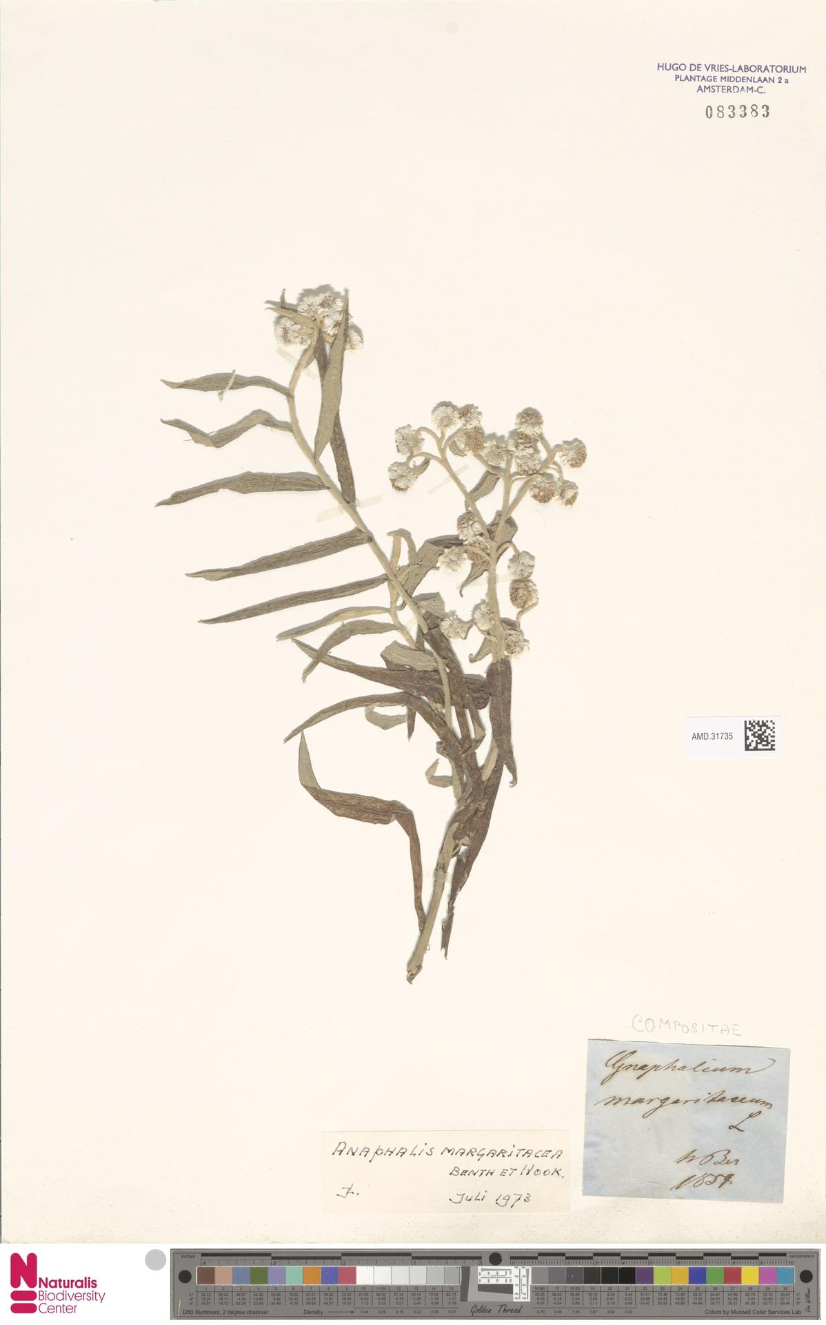 AMD.31735 | Anaphalis margaritacea (L.) Benth. & Hook.f.