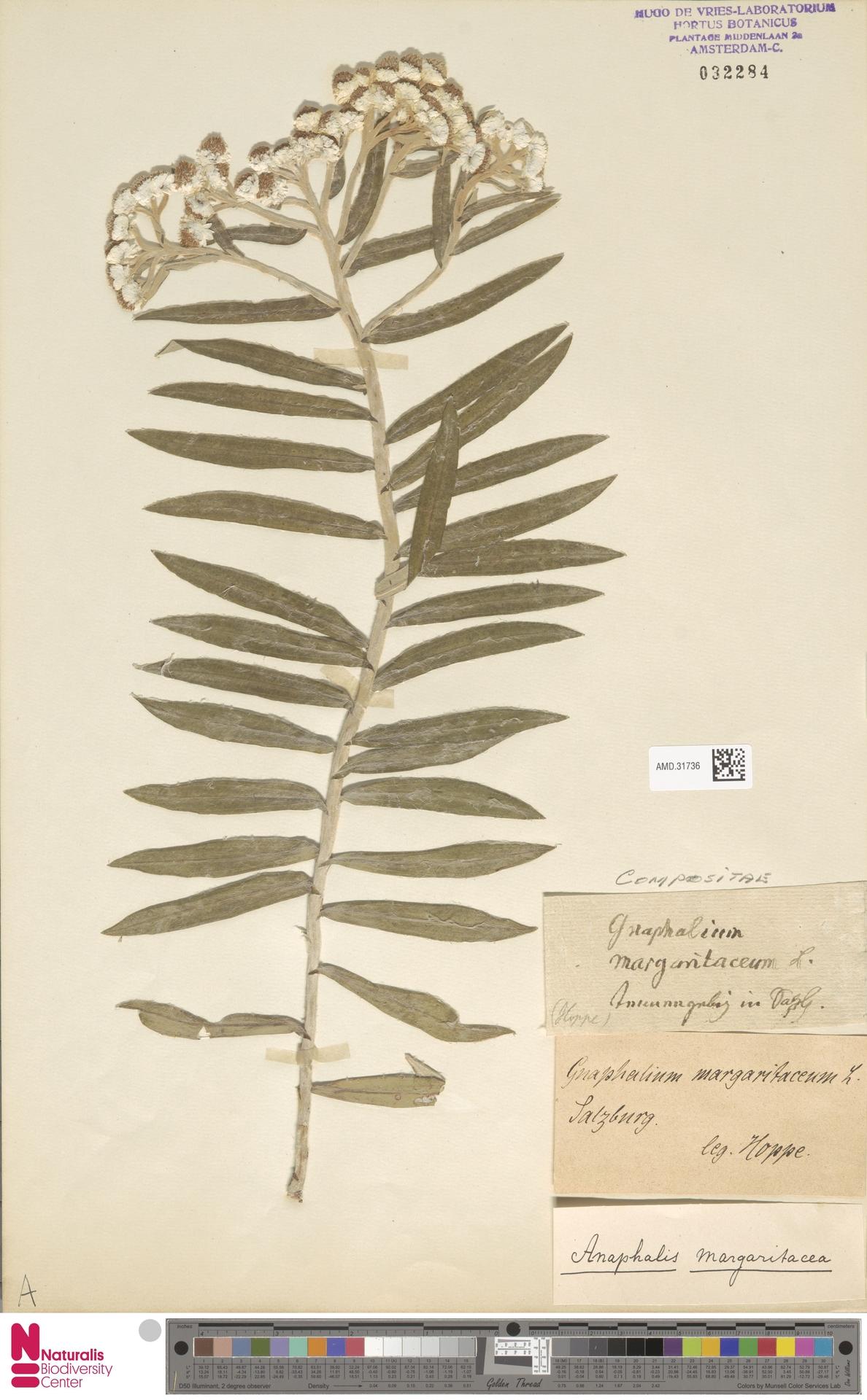AMD.31736 | Anaphalis margaritacea (L.) Benth. & Hook.f.