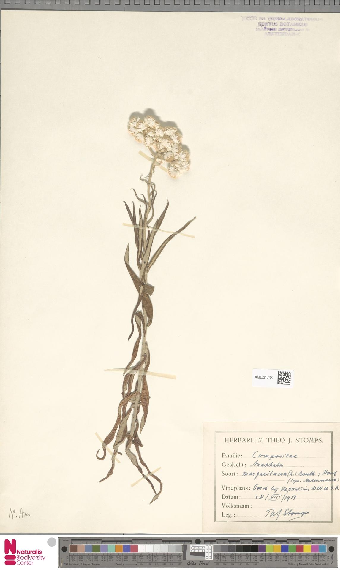 AMD.31738 | Anaphalis margaritacea (L.) Benth. & Hook.f.