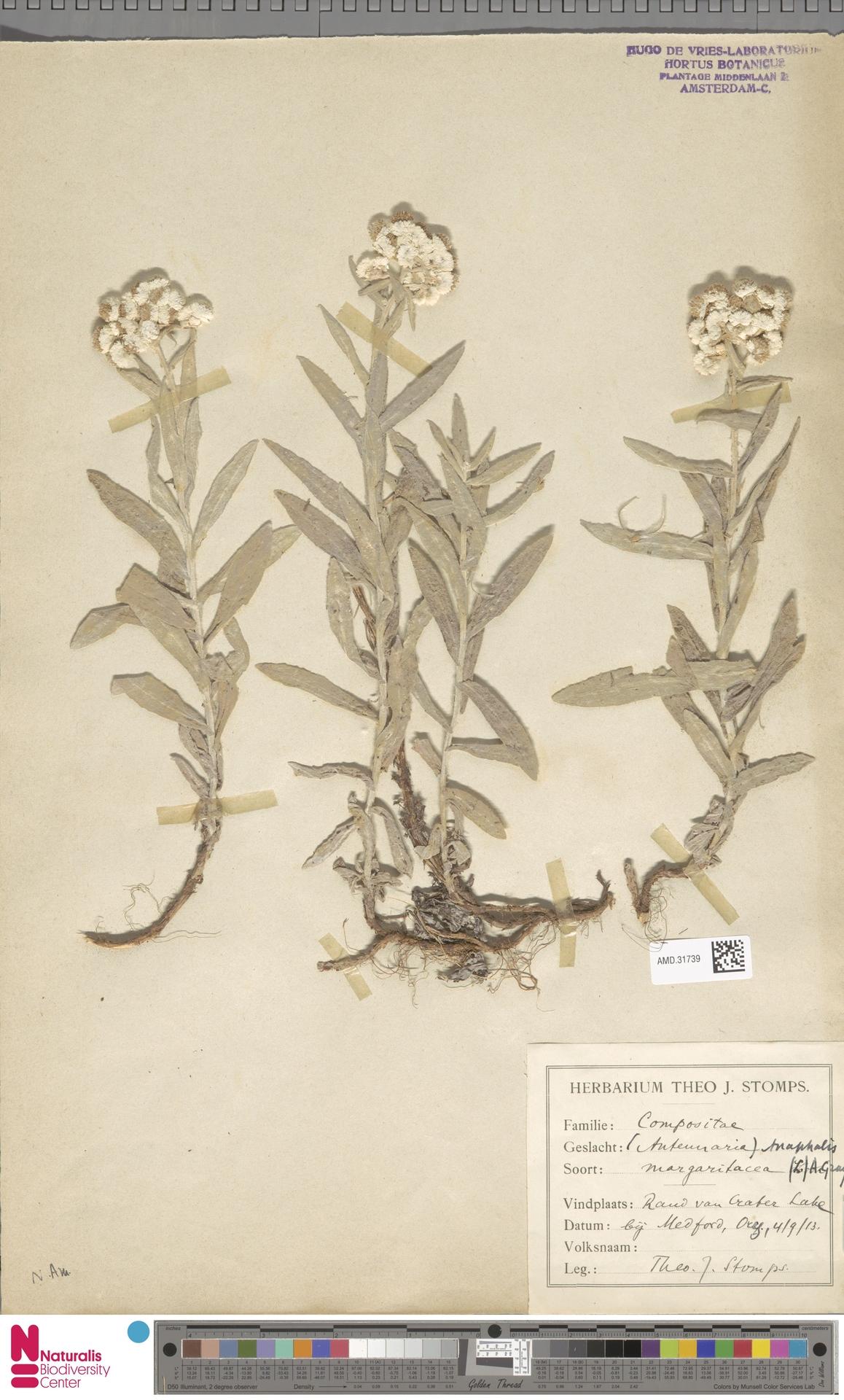 AMD.31739 | Anaphalis margaritacea (L.) Benth. & Hook.f.