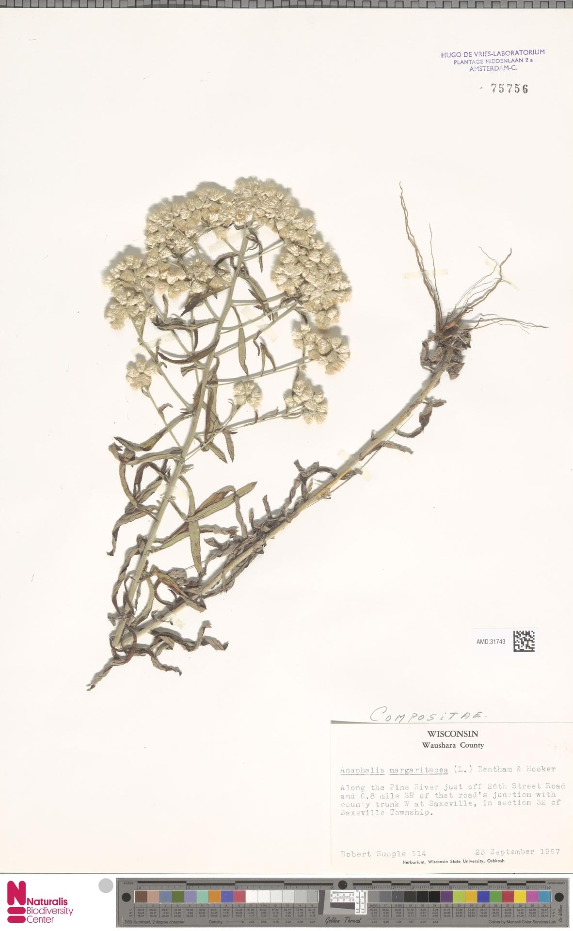 AMD.31743 | Anaphalis margaritacea (L.) Benth. & Hook.f.