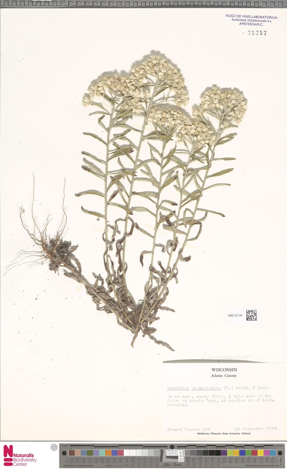 AMD.31744 | Anaphalis margaritacea (L.) Benth. & Hook.f.