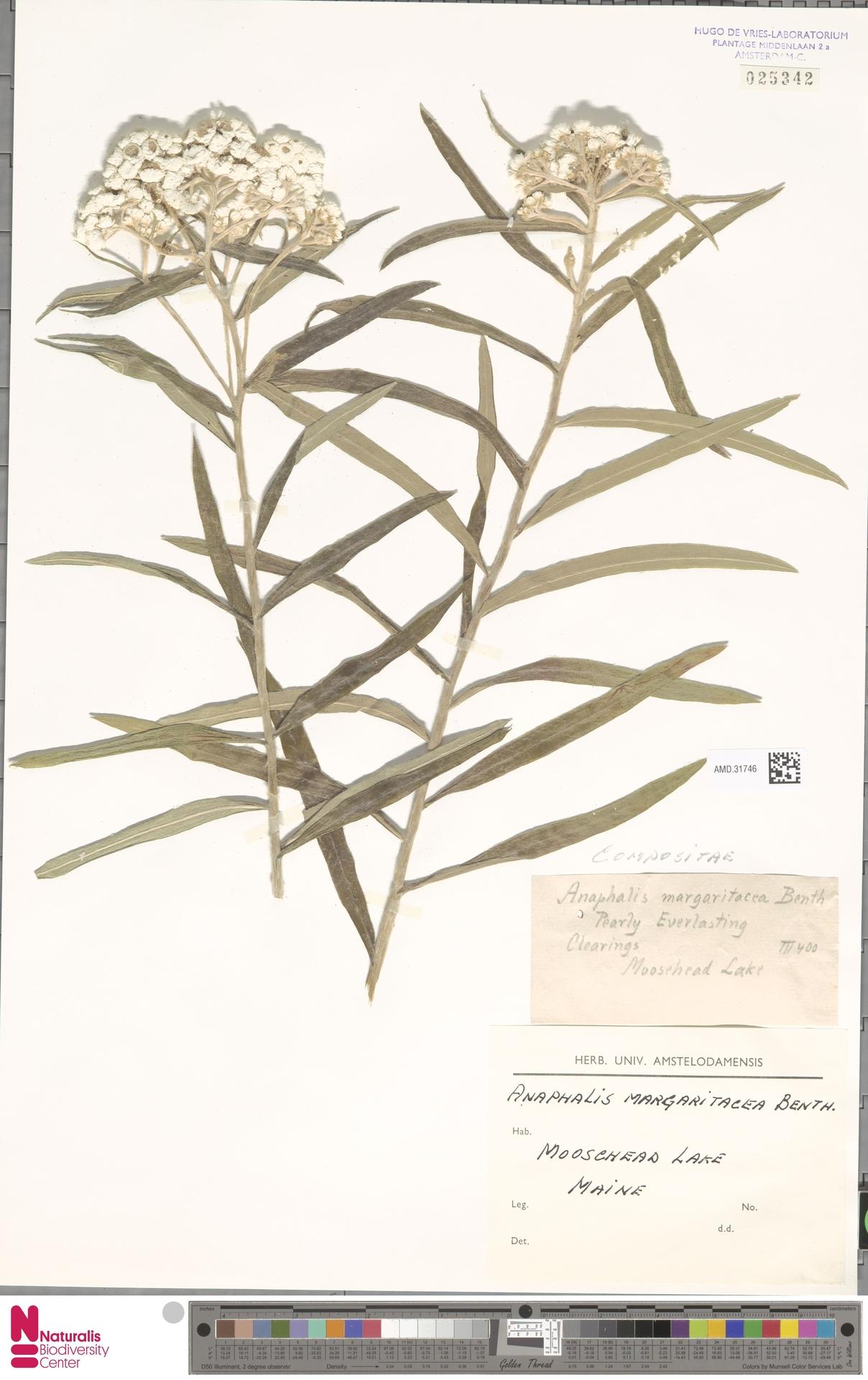 AMD.31746 | Anaphalis margaritacea (L.) Benth. & Hook.f.