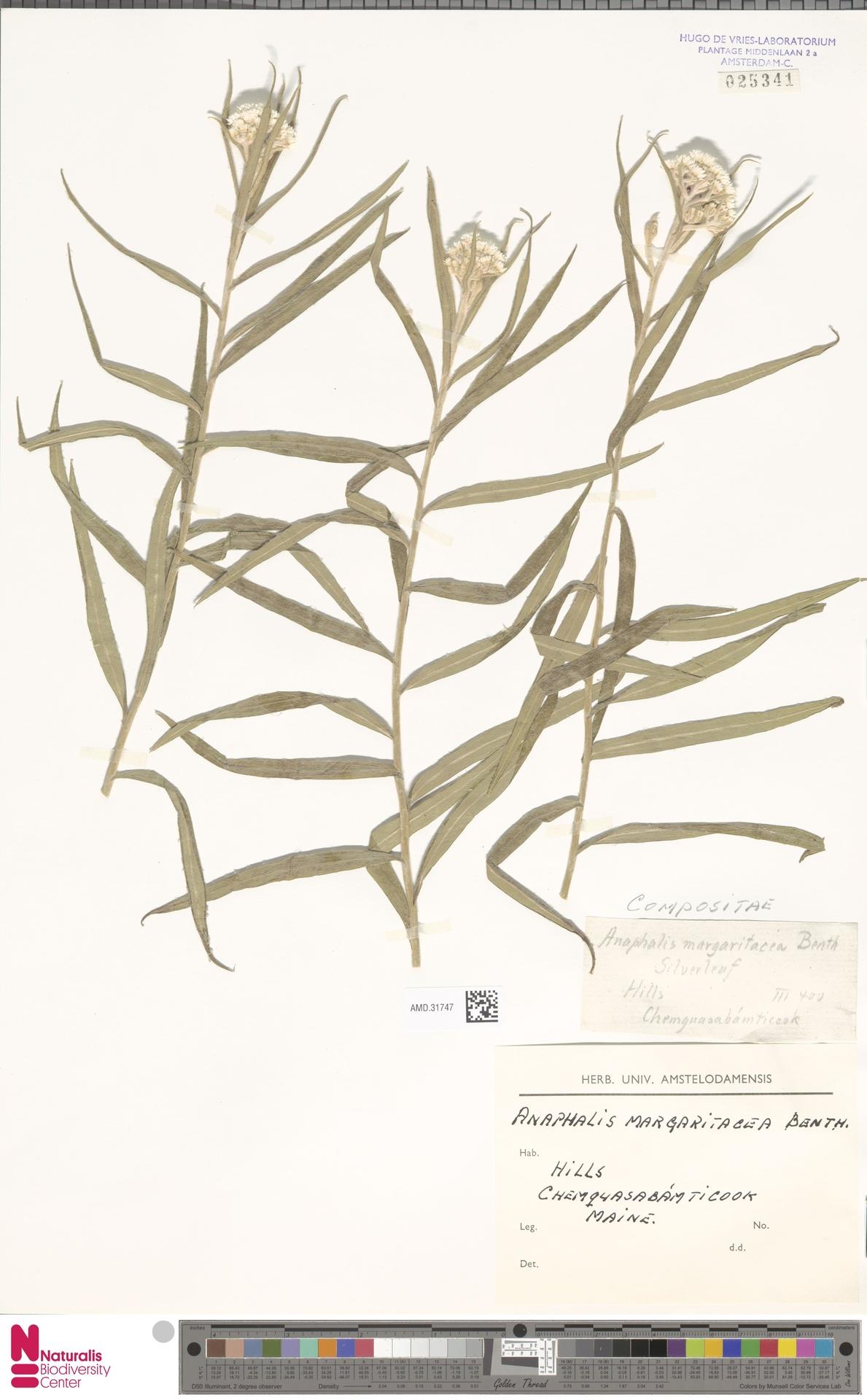 AMD.31747 | Anaphalis margaritacea (L.) Benth. & Hook.f.