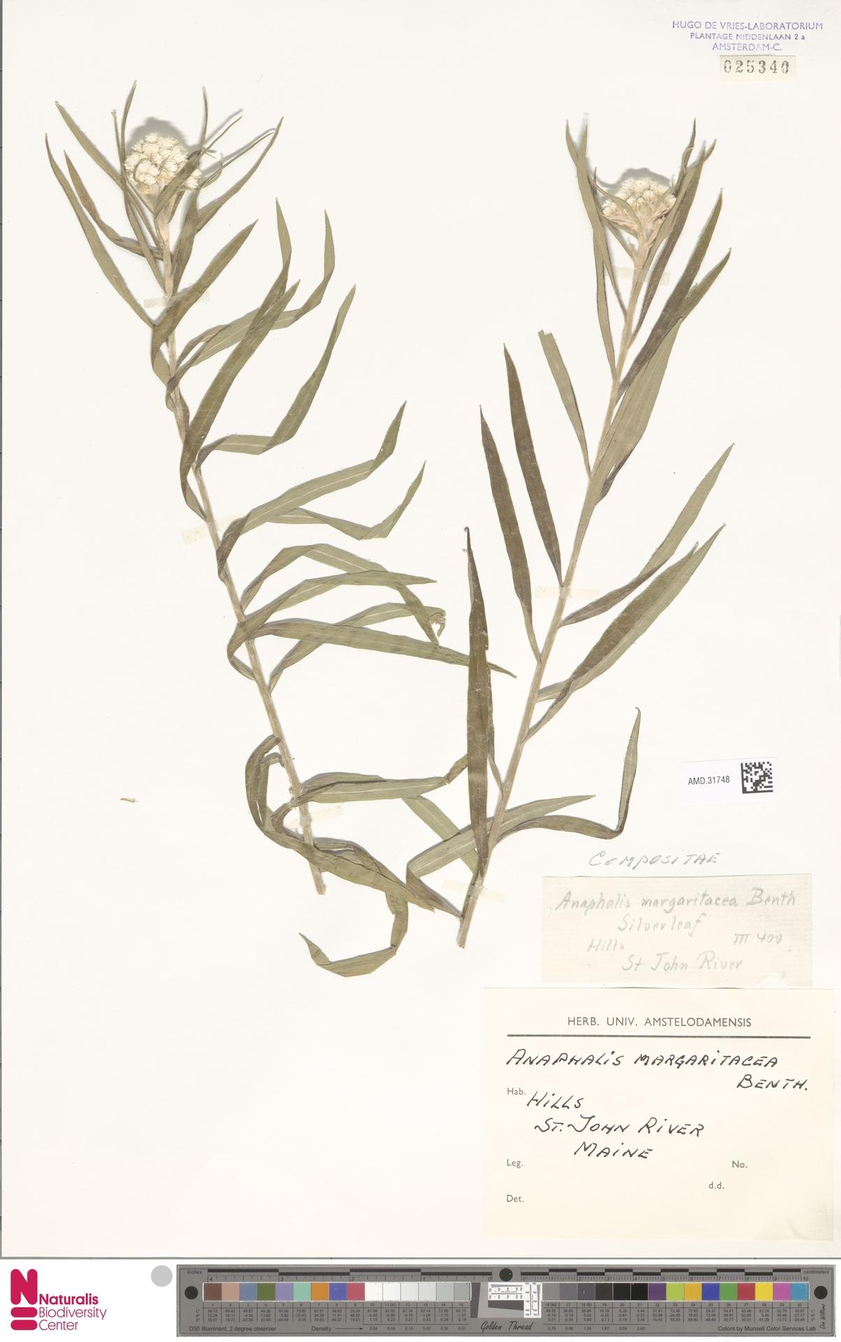AMD.31748 | Anaphalis margaritacea (L.) Benth. & Hook.f.
