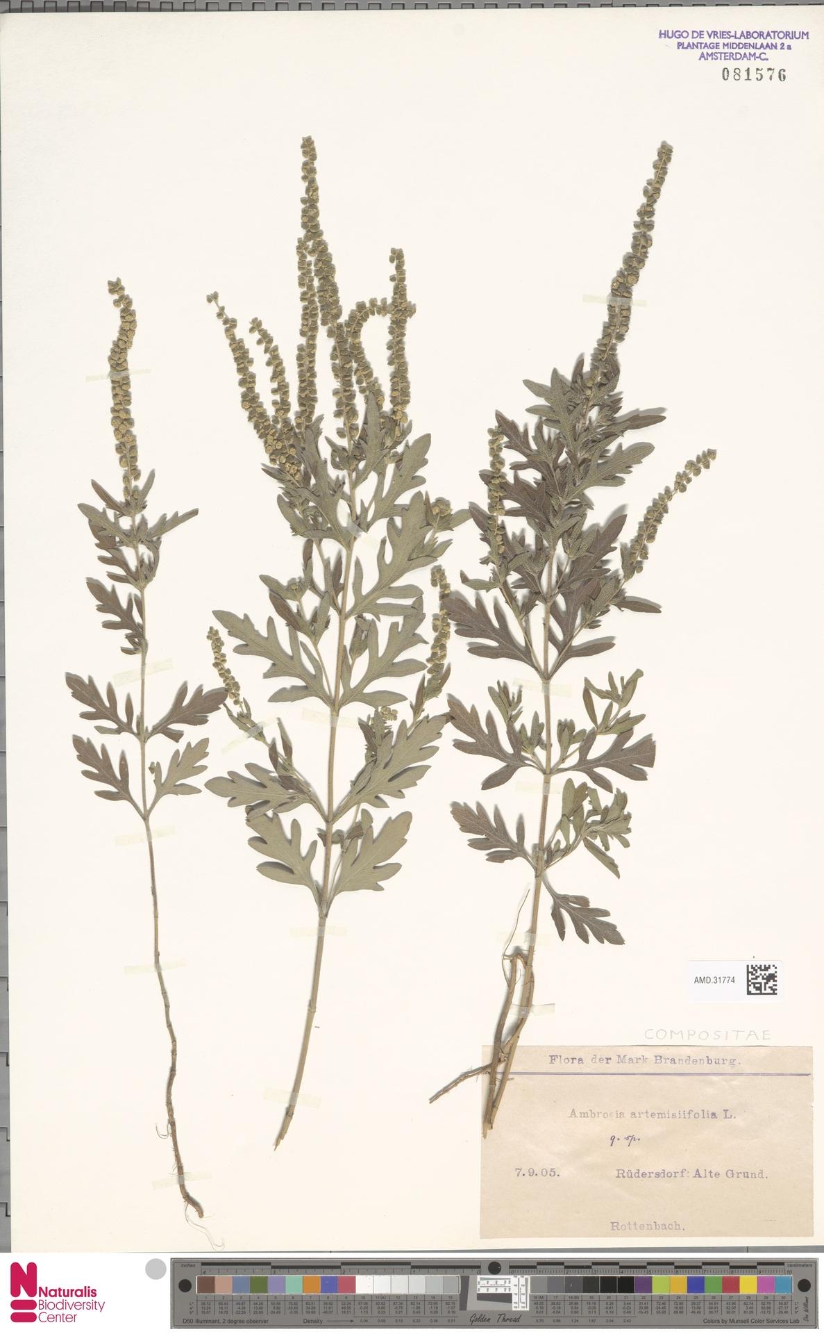 AMD.31774   Ambrosia artemisiifolia L.