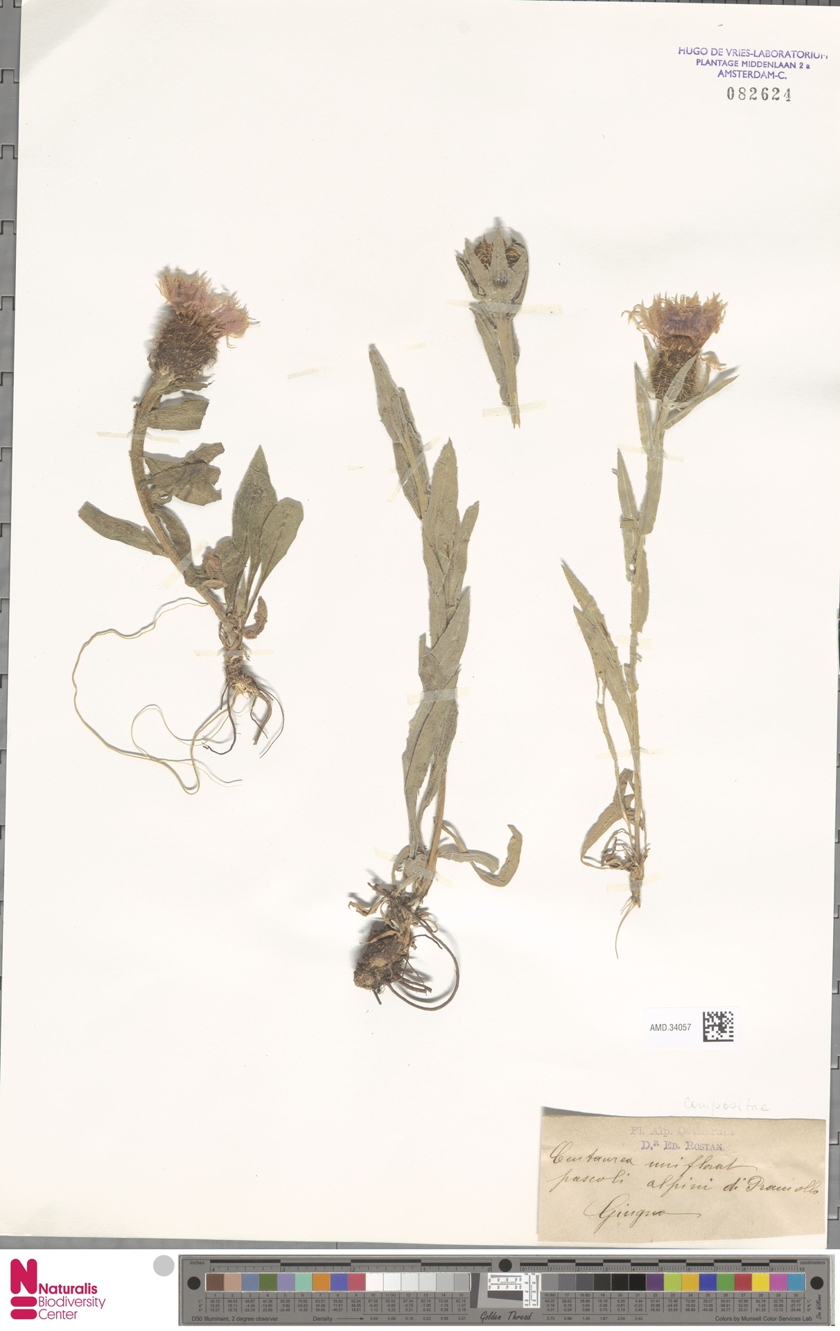 AMD.34057 | Centaurea uniflora L.