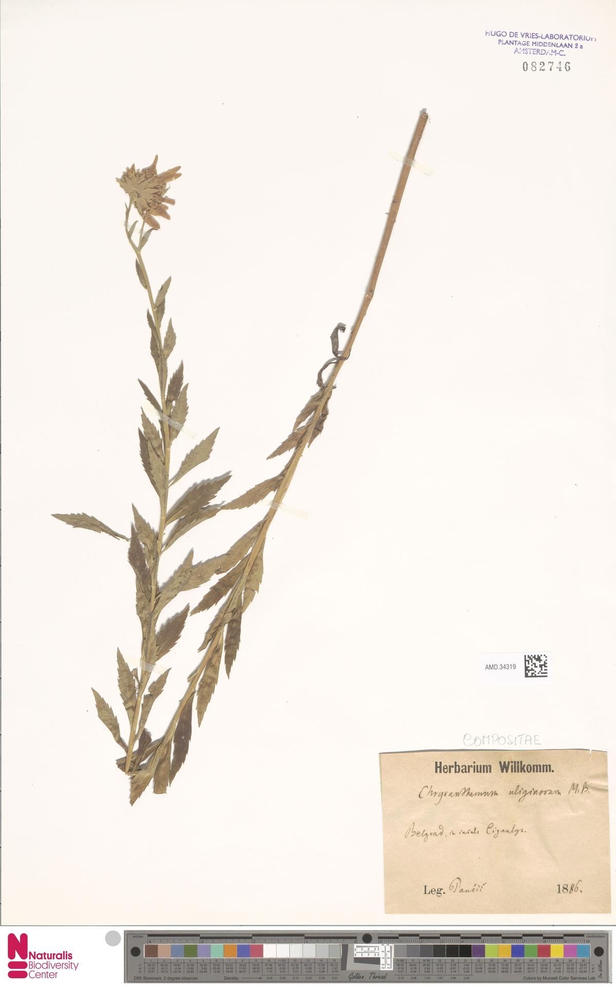 AMD.34319 | Chrysanthemum uliginosum Pers.