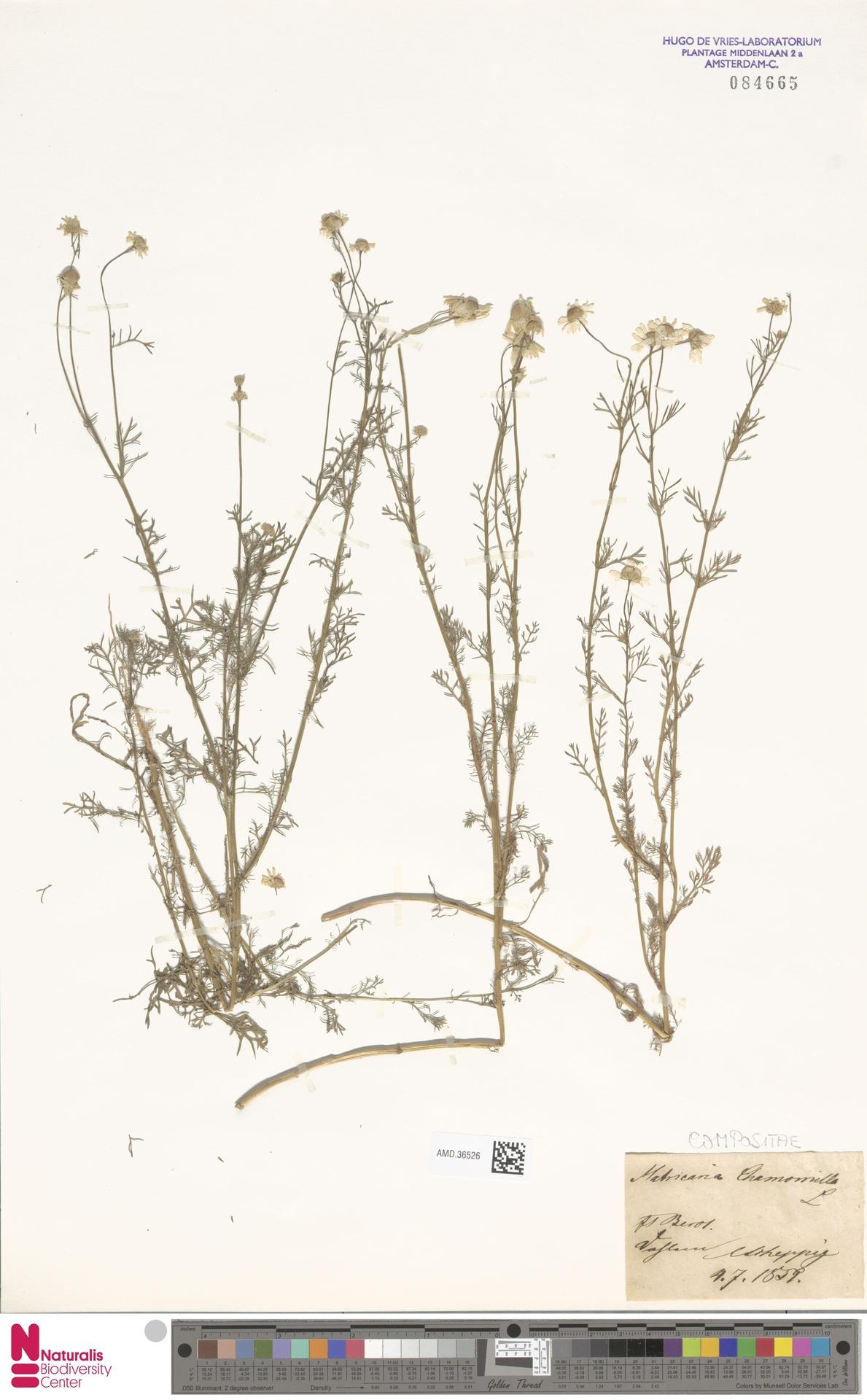AMD.36526 | Matricaria chamomilla L.