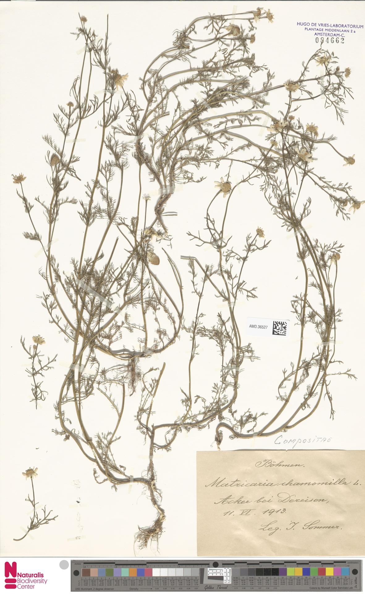 AMD.36527 | Matricaria chamomilla L.