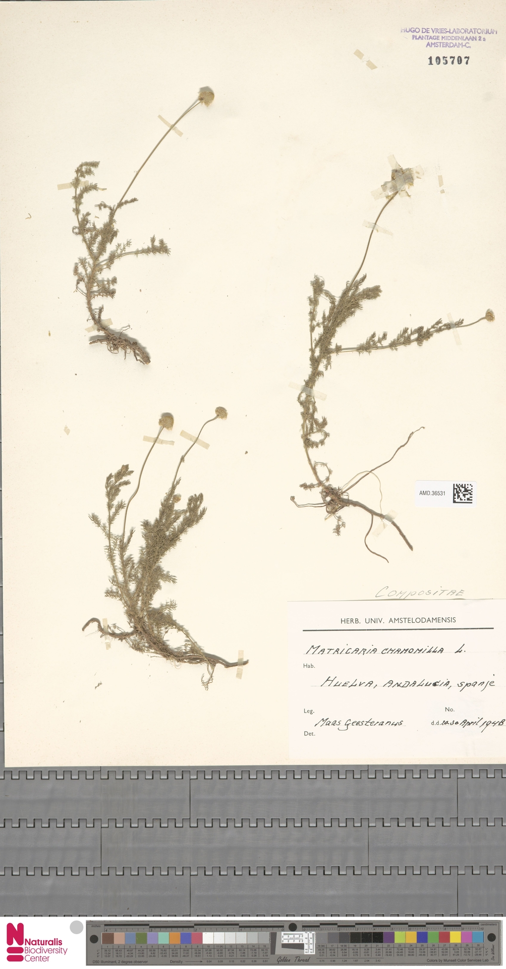 AMD.36531 | Matricaria chamomilla L.