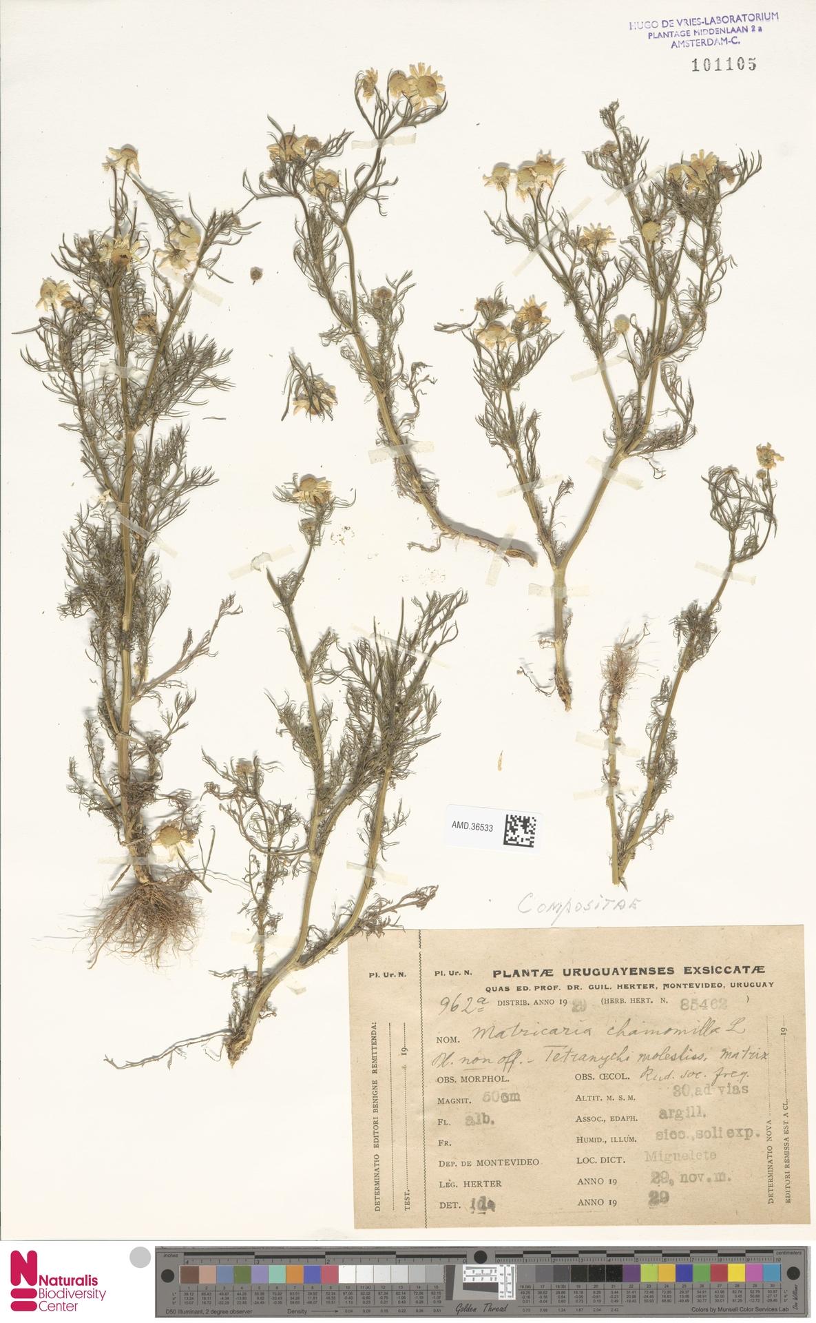 AMD.36533 | Matricaria chamomilla L.
