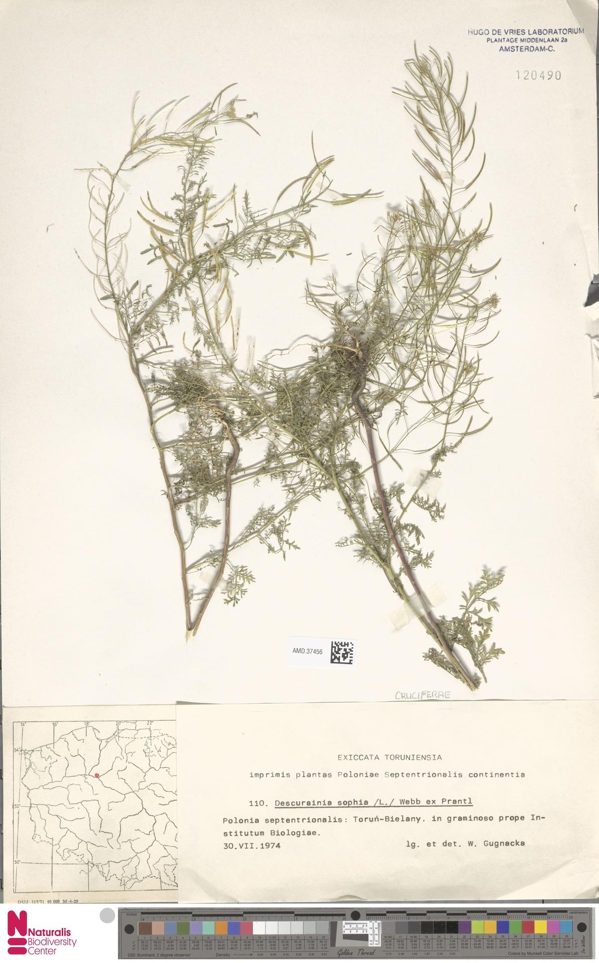 AMD.37456 | Descurainia sophia (L.) Webb ex Prantl