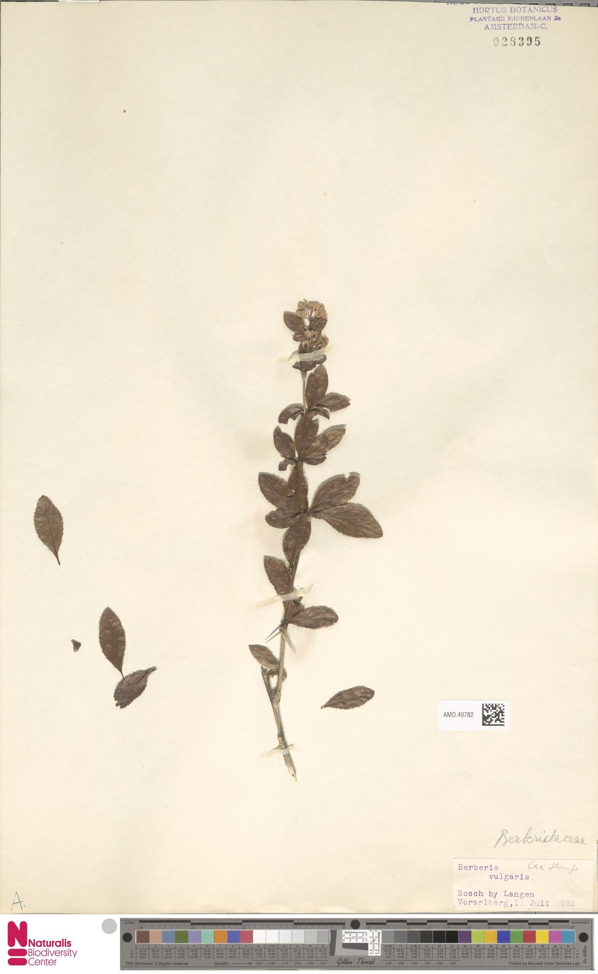 AMD.40782 | Berberis vulgaris L.