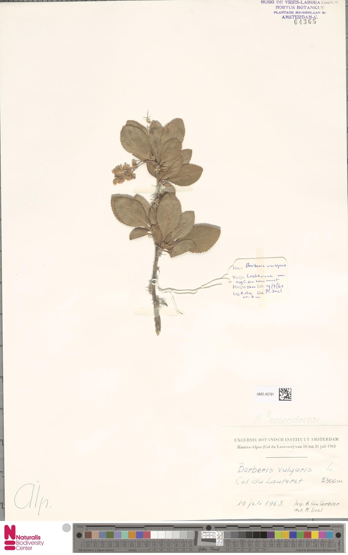 AMD.40791 | Berberis vulgaris L.