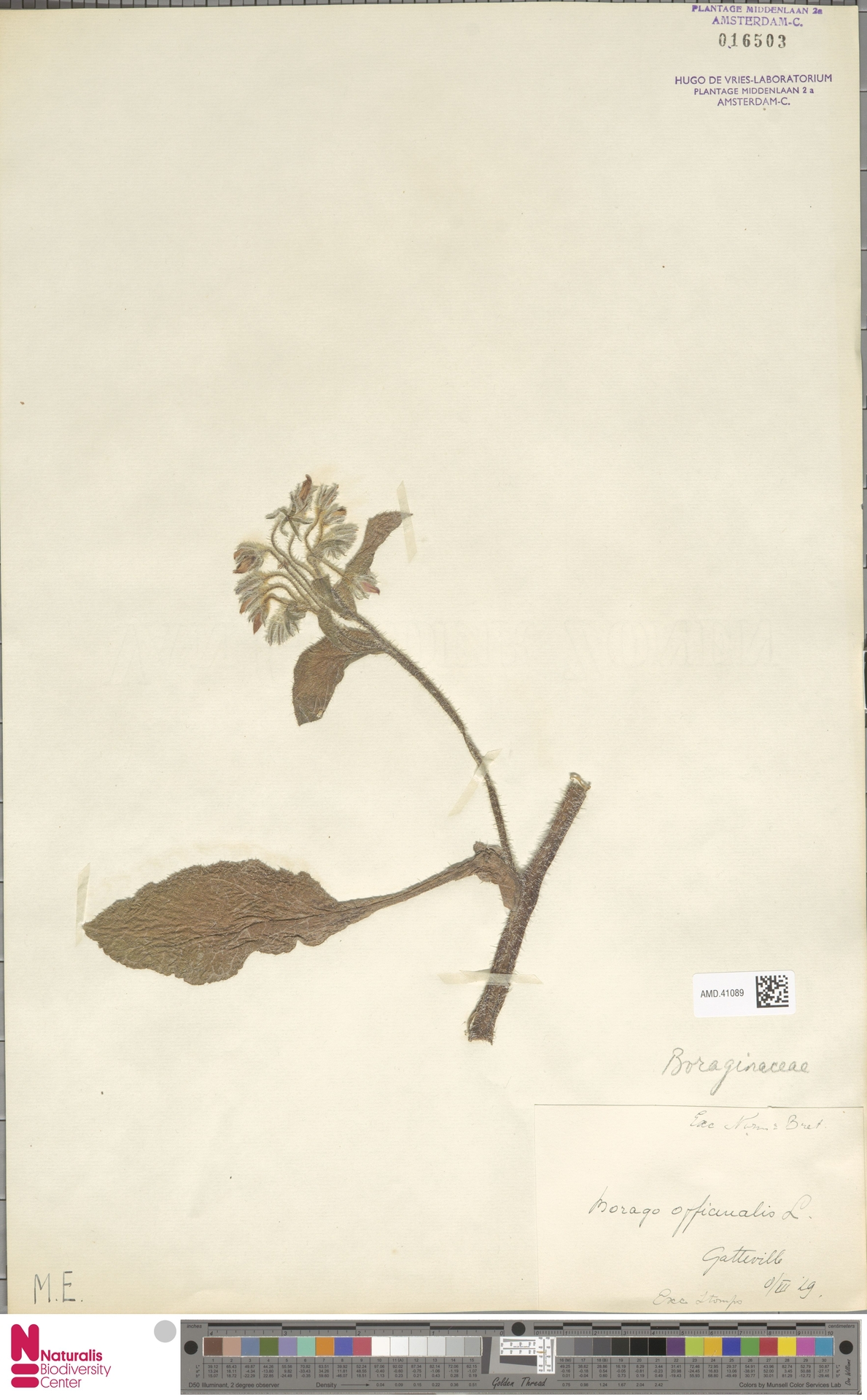 AMD.41089 | Borago officinalis L.
