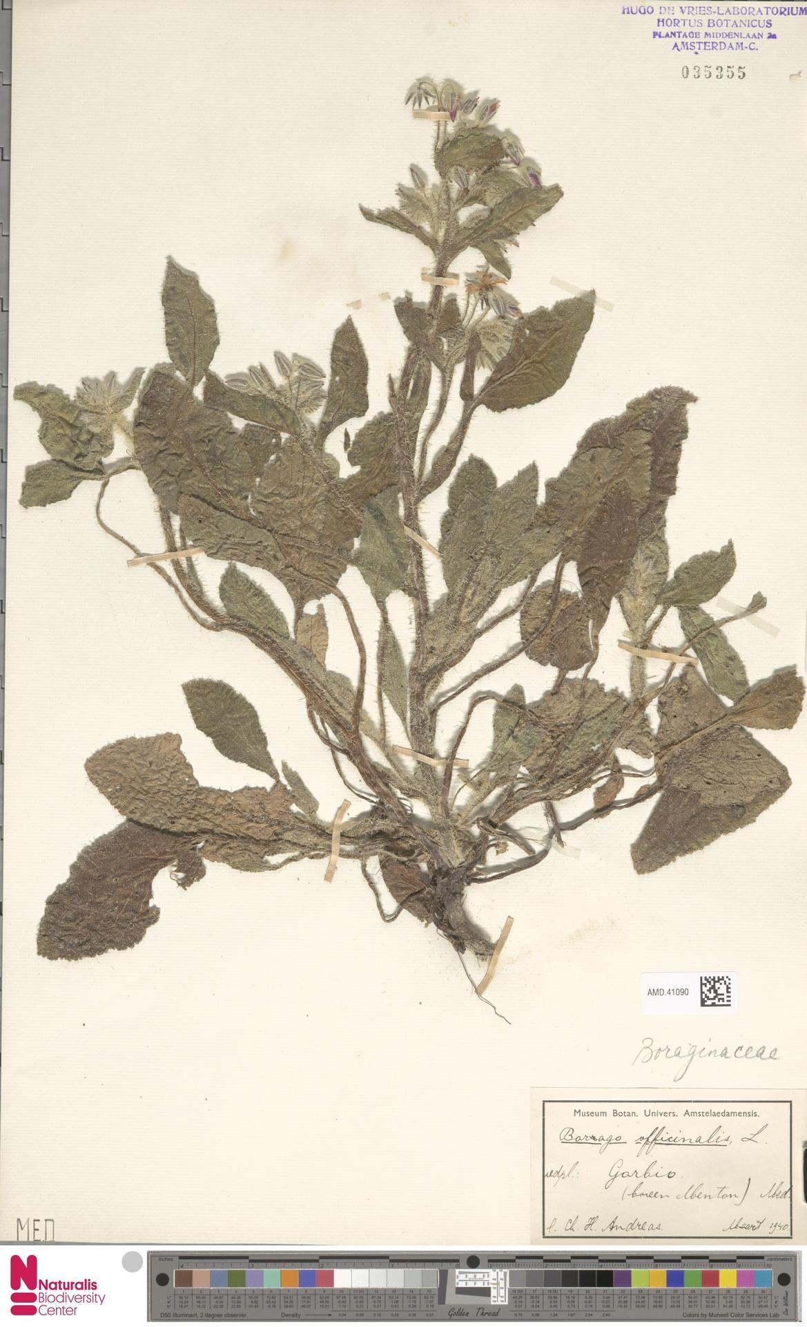 AMD.41090 | Borago officinalis L.