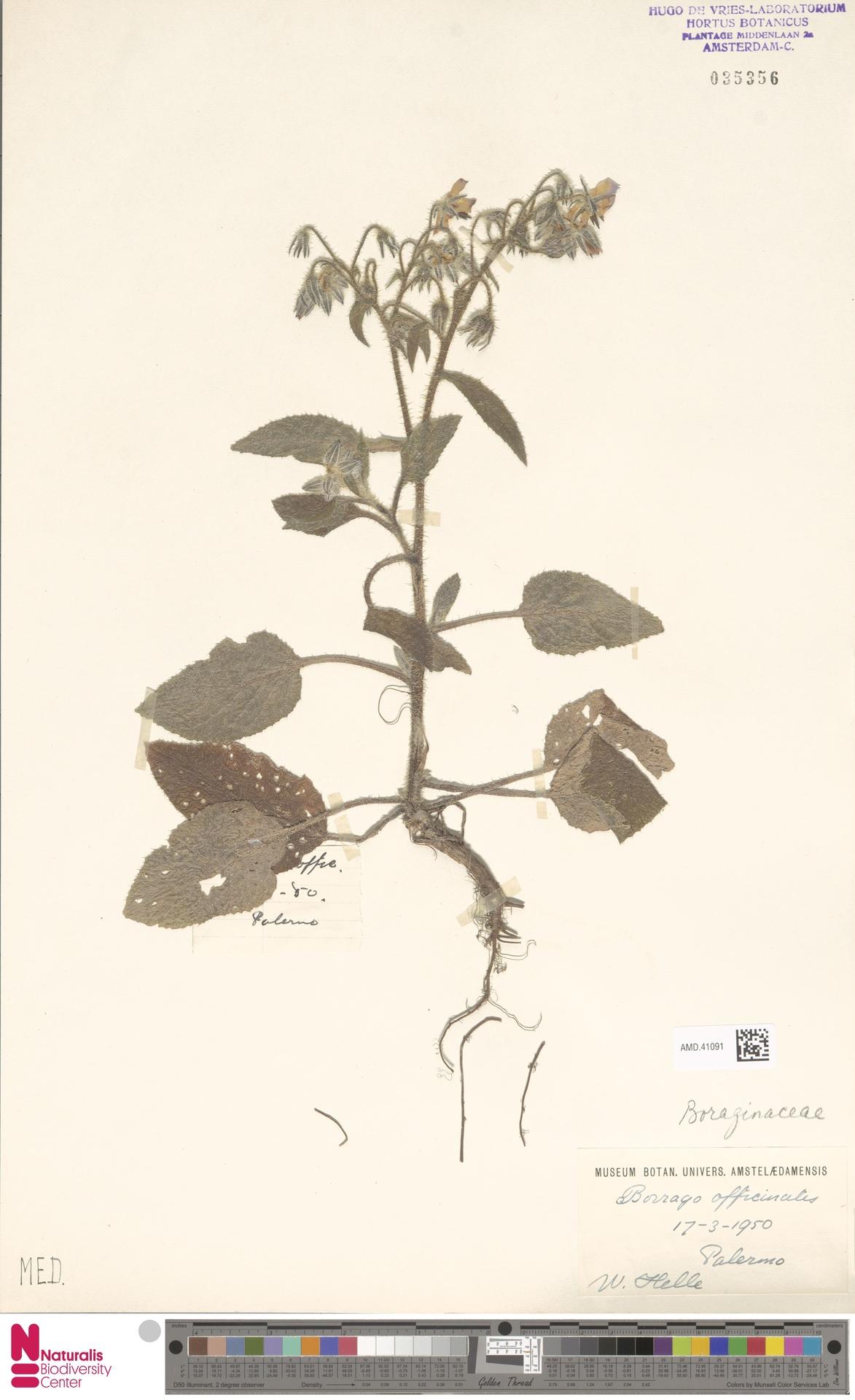 AMD.41091 | Borago officinalis L.