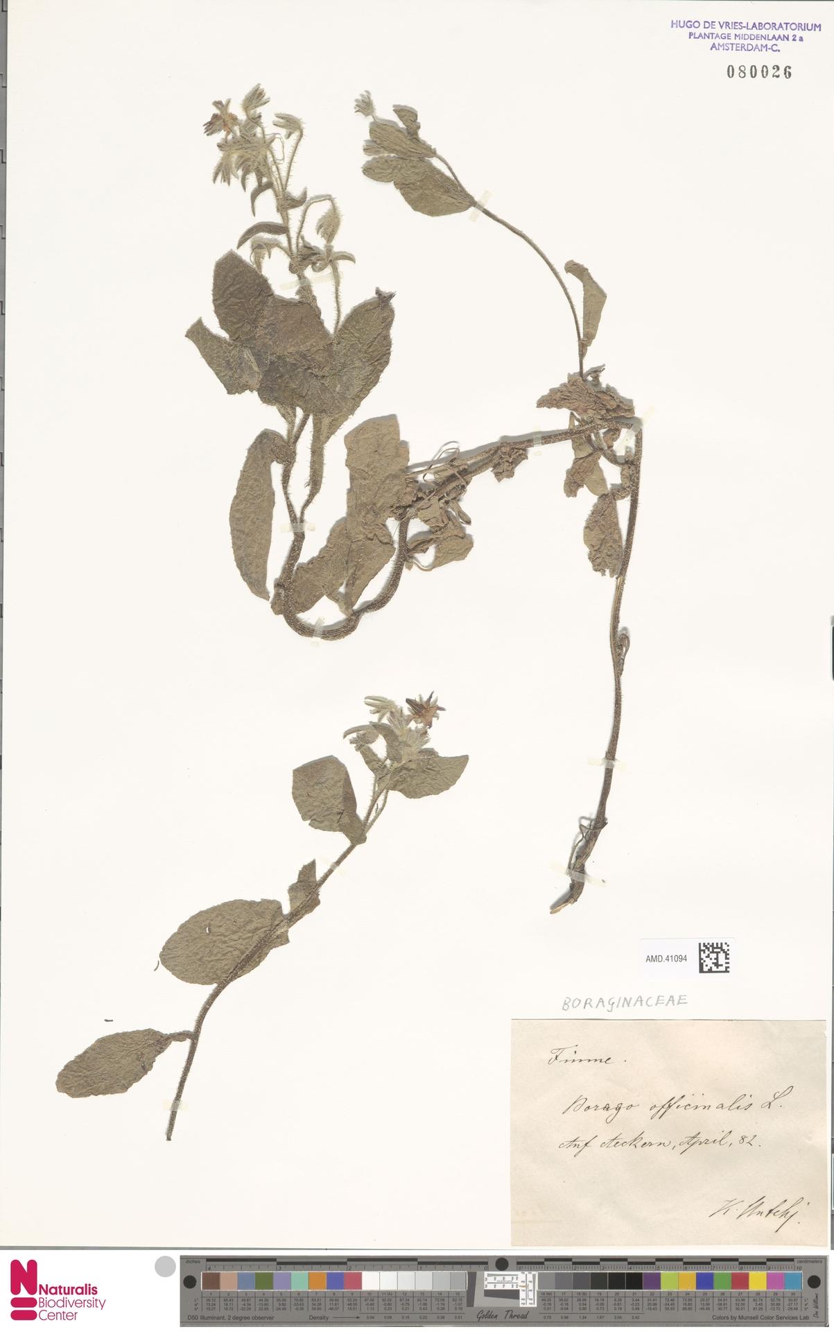 AMD.41094 | Borago officinalis L.