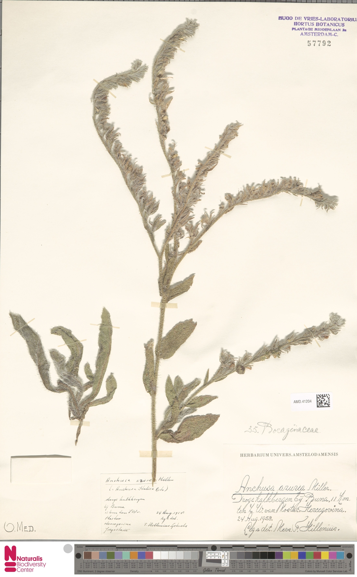 AMD.41204 | Anchusa azurea Mill.