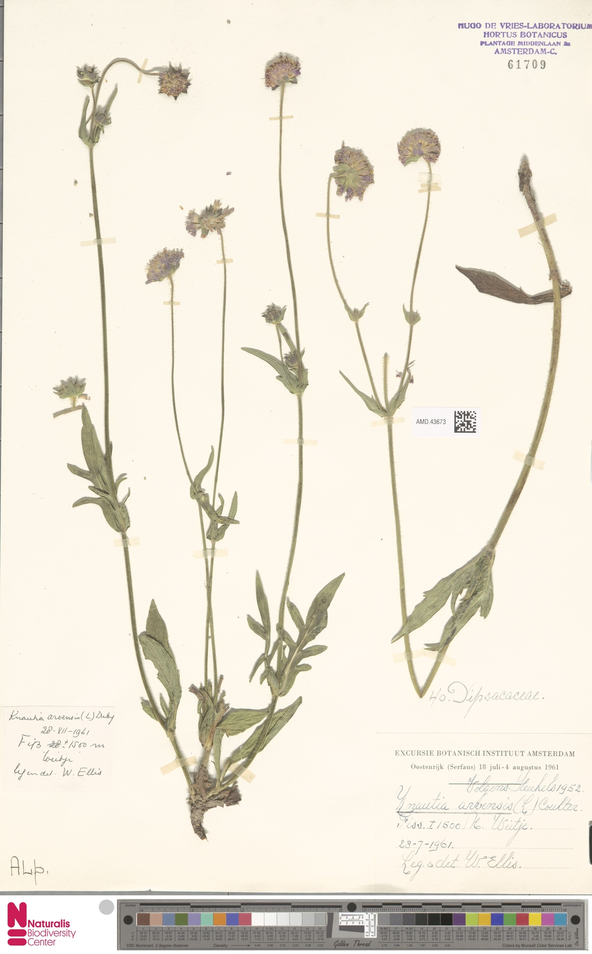 AMD.43673 | Knautia arvensis (L.) Coult.