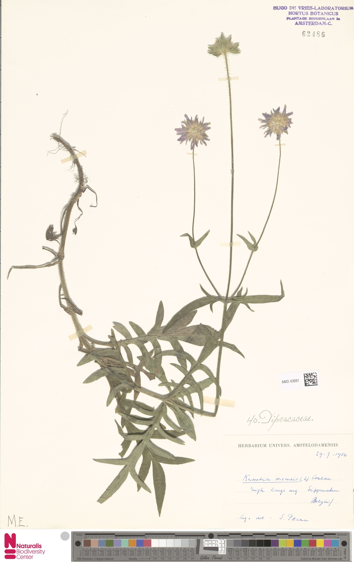AMD.43691 | Knautia arvensis (L.) Coult.