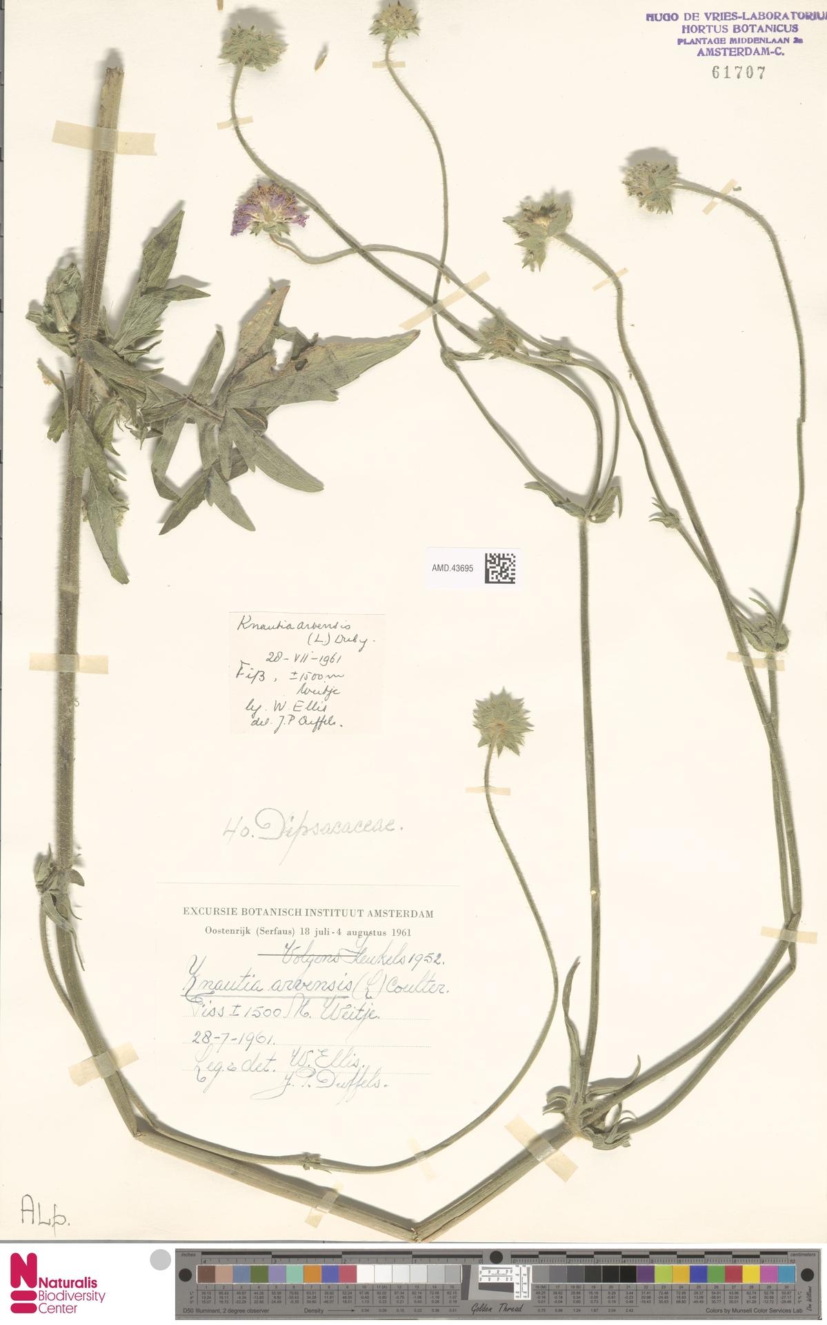 AMD.43695 | Knautia arvensis (L.) Coult.