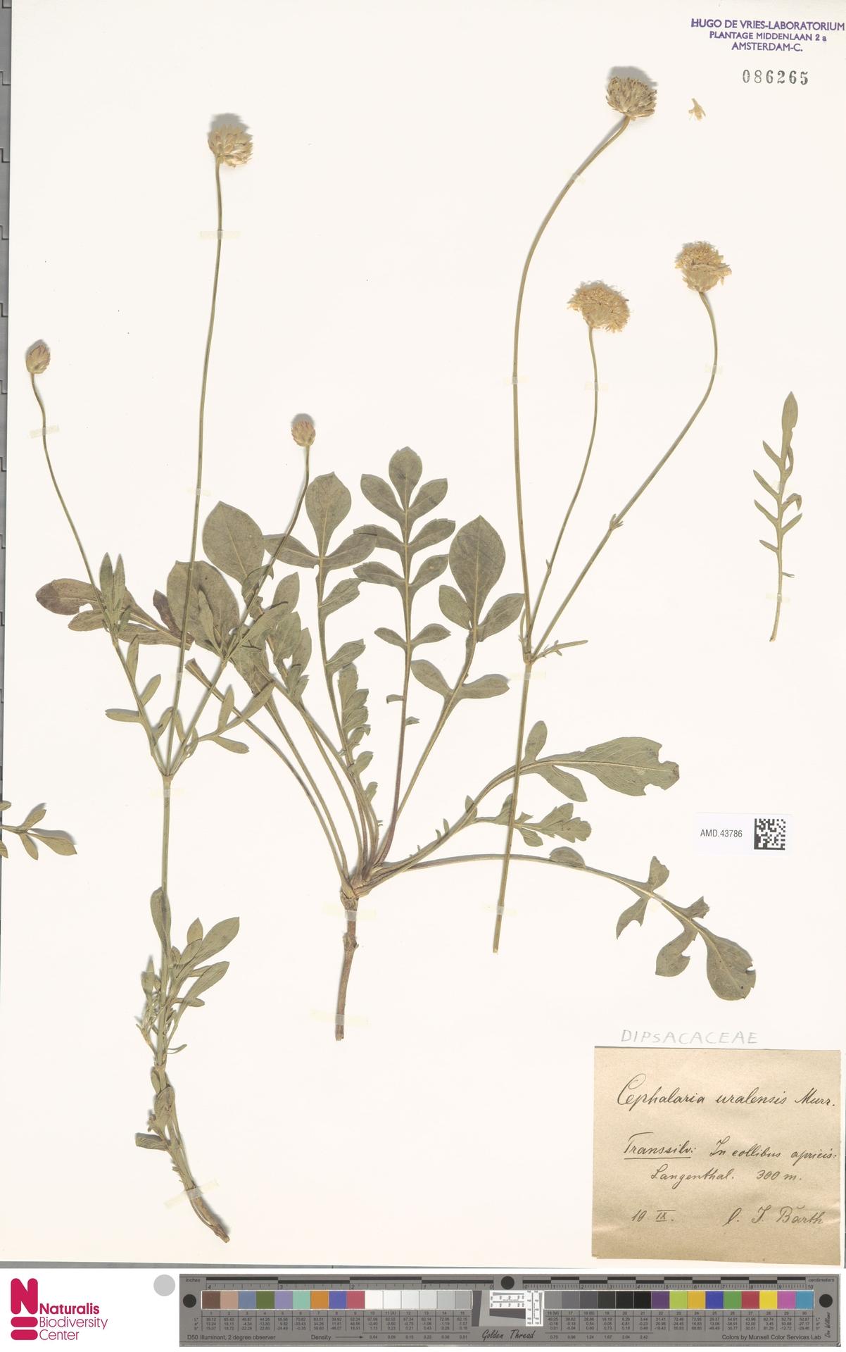 AMD.43786 | Cephalaria uralensis (Murray) Roem. & Schult.