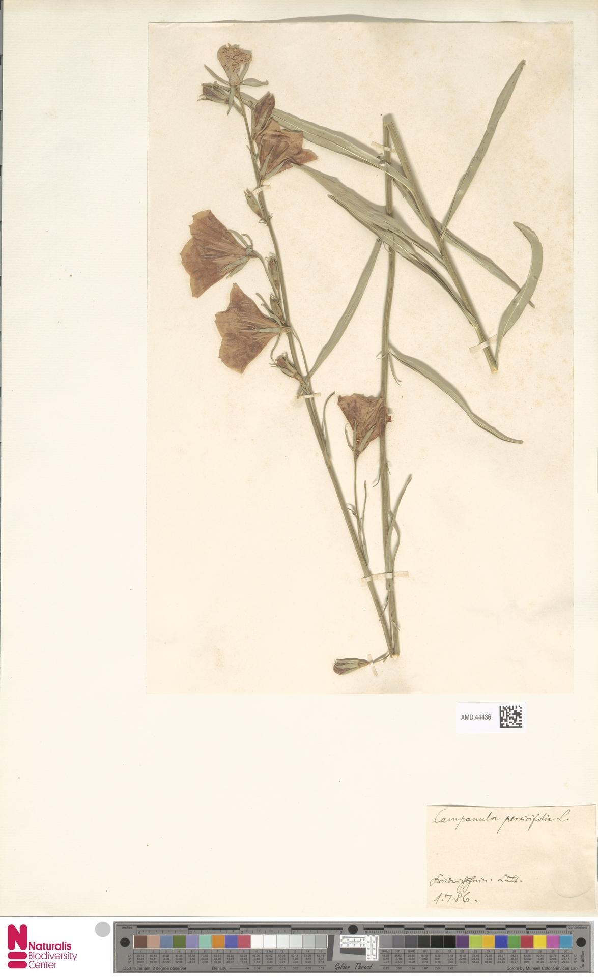 AMD.44436 | Campanula persicifolia L.