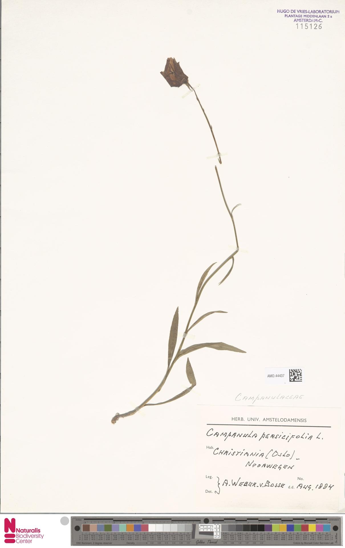 AMD.44437 | Campanula persicifolia L.