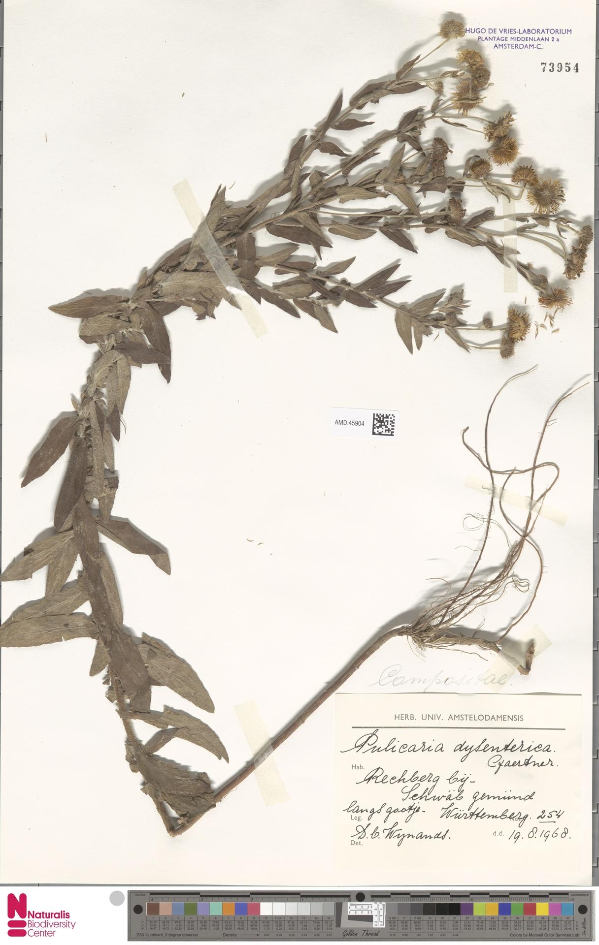 AMD.45904   Pulicaria dysenterica (L.) Bernh.