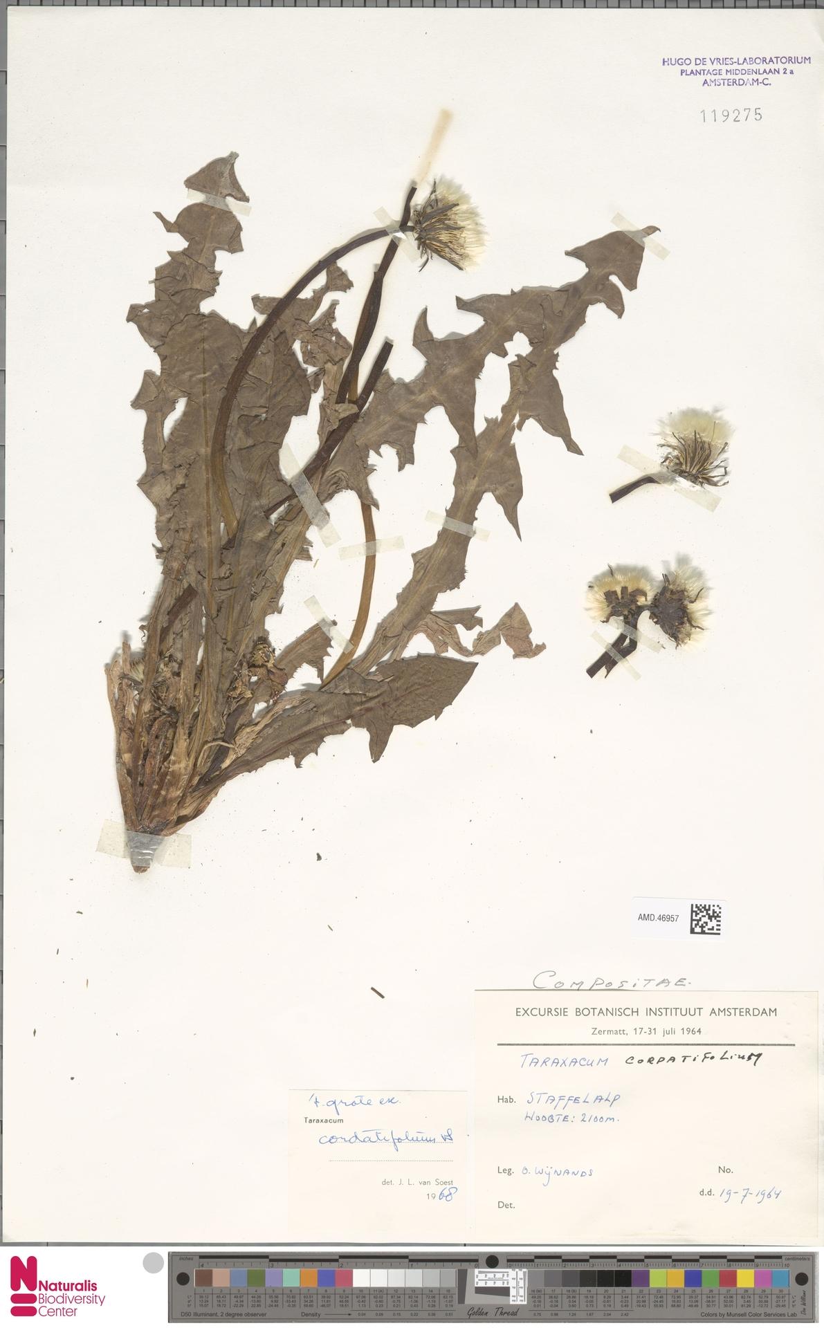 AMD.46957   Taraxacum cordatifolium Soest