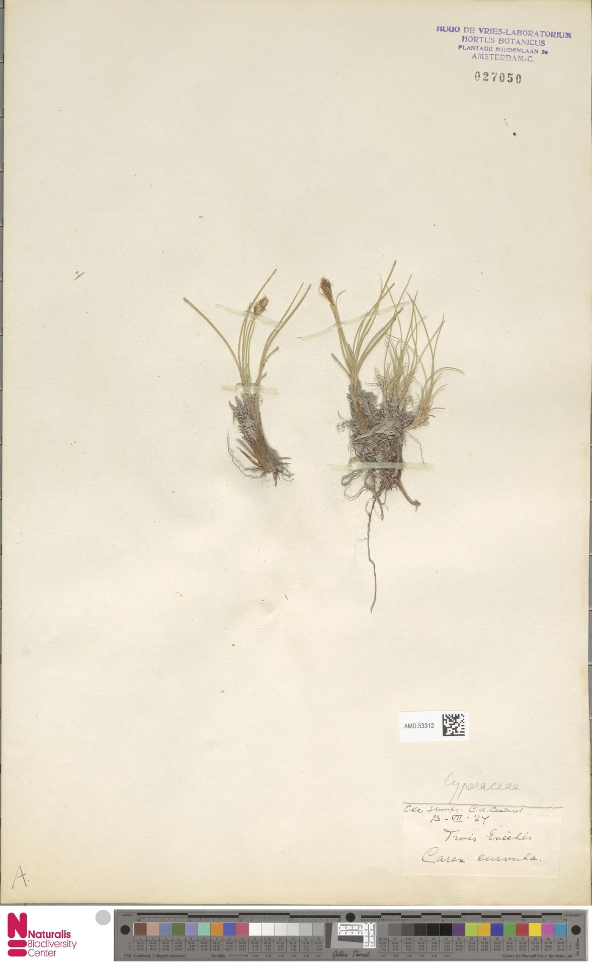 AMD.53312 | Carex curvula All.