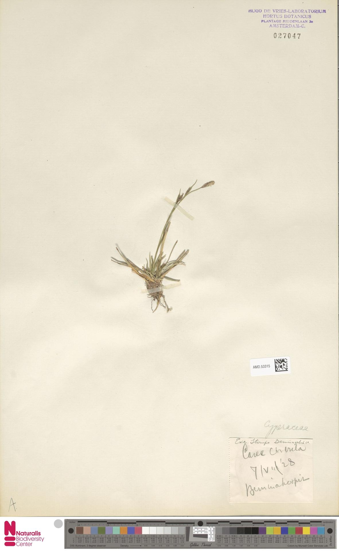 AMD.53315 | Carex curvula All.