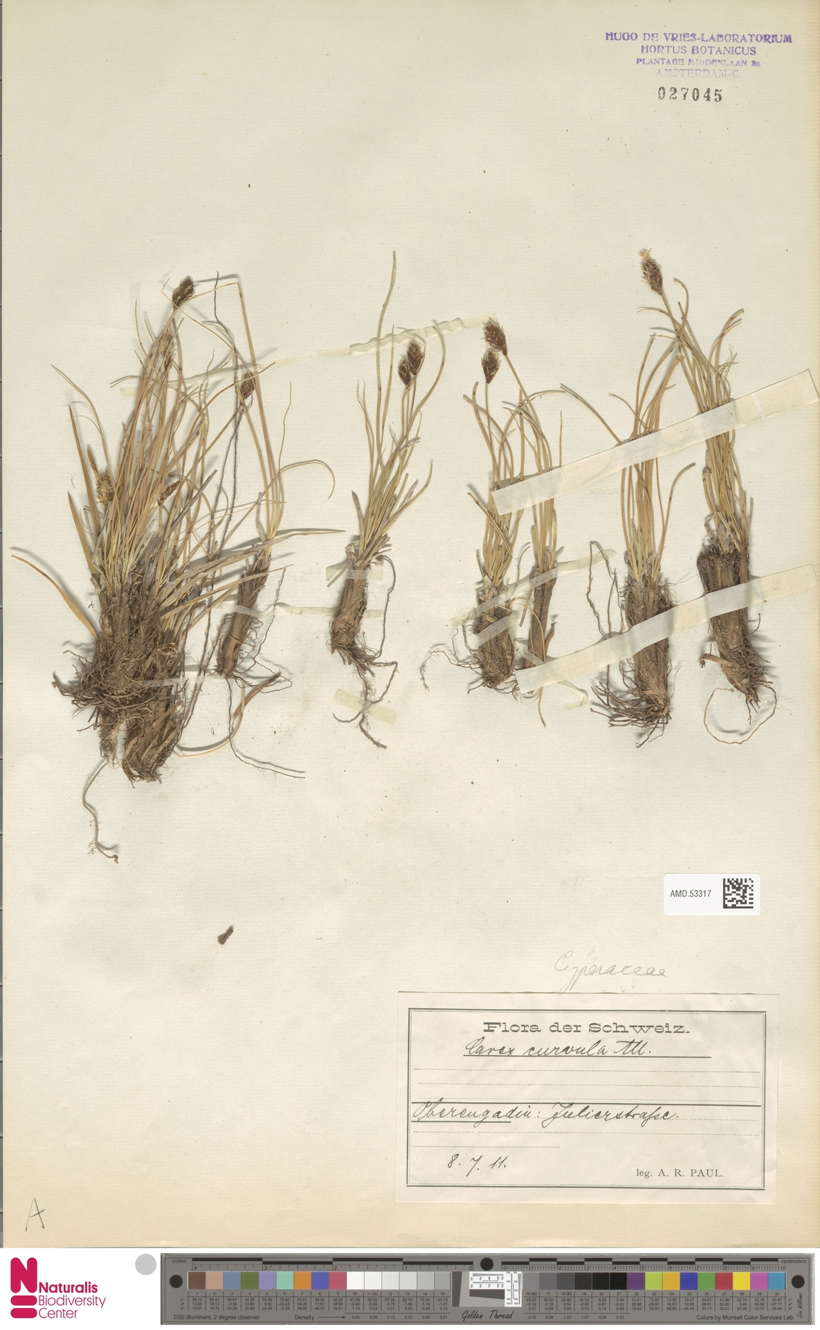 AMD.53317 | Carex curvula All.