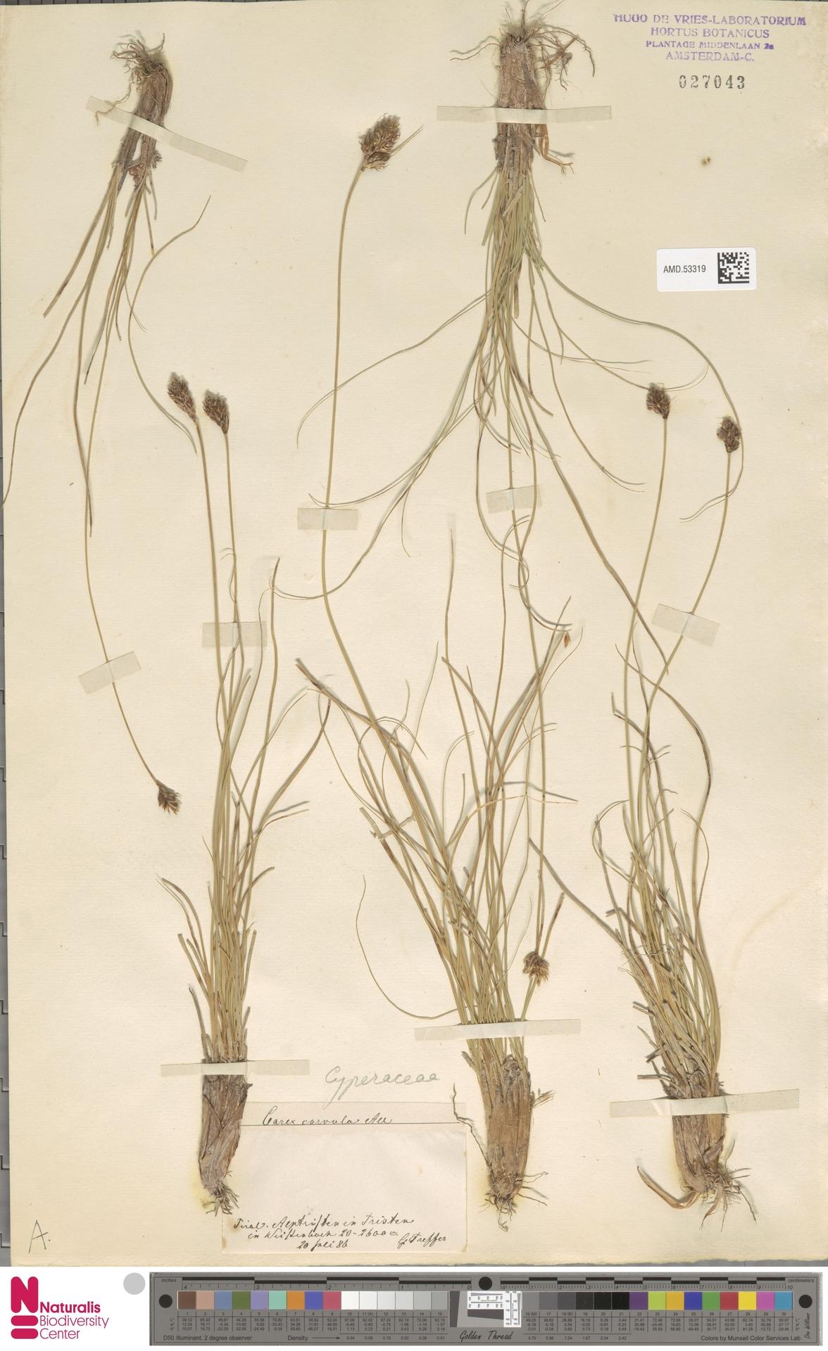 AMD.53319 | Carex curvula All.